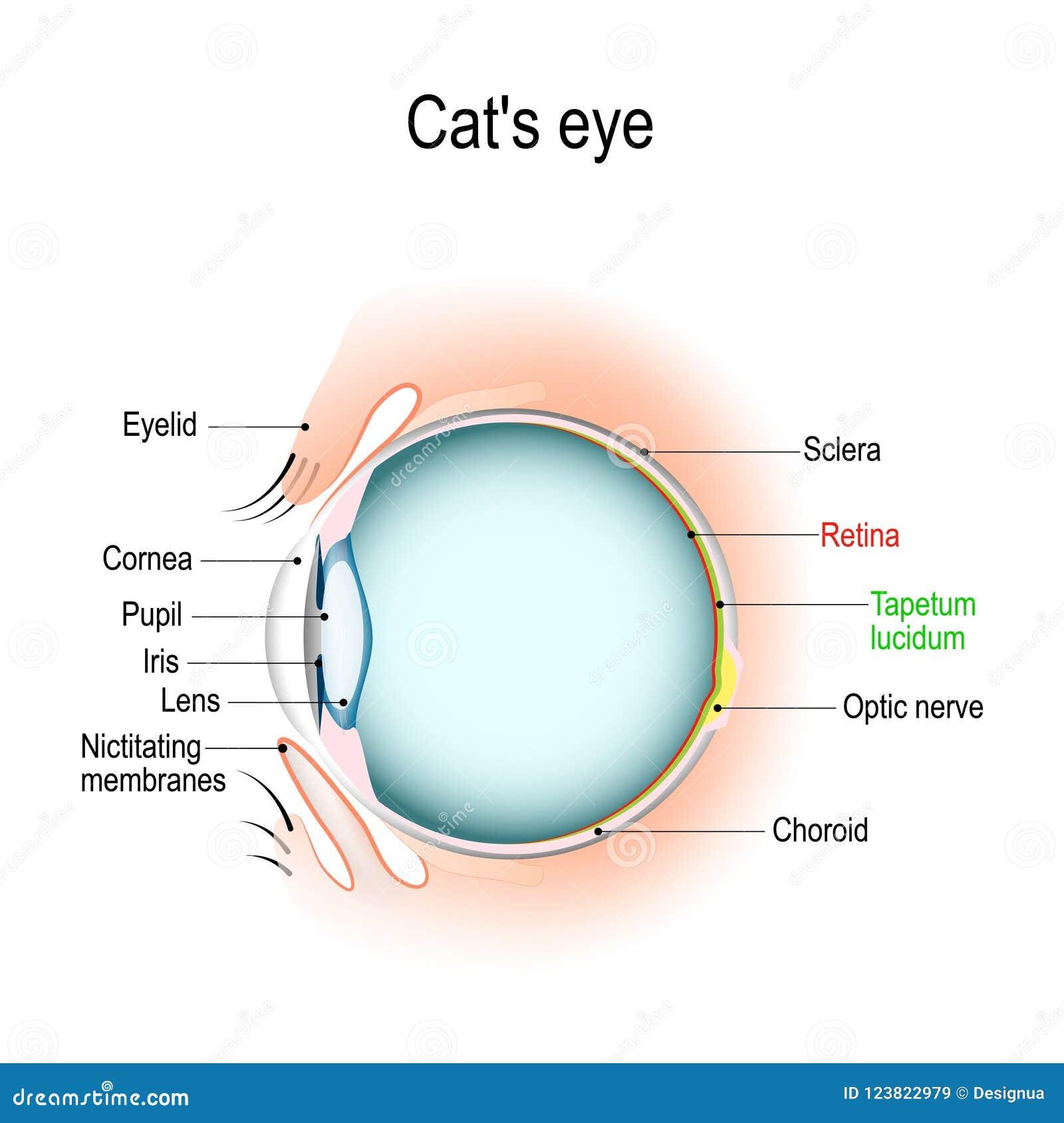 Anatomía Del ` S Del Gato O Del Ojo Del ` S Del Perro Ilustración ...
