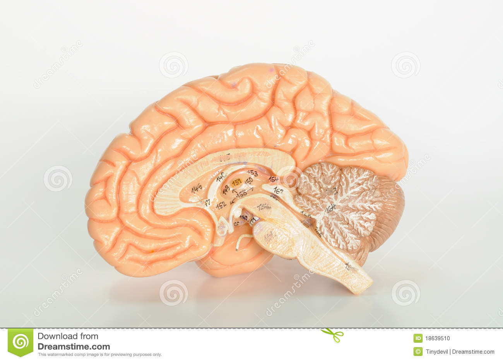 Anatomía Del Ser Humano Del Cerebro Foto de archivo - Imagen de ...
