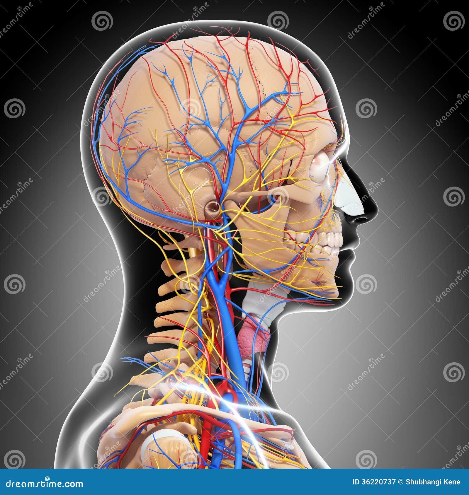 Anatomía Del Sistema Circulatorio De Cerebro Stock de ilustración ...