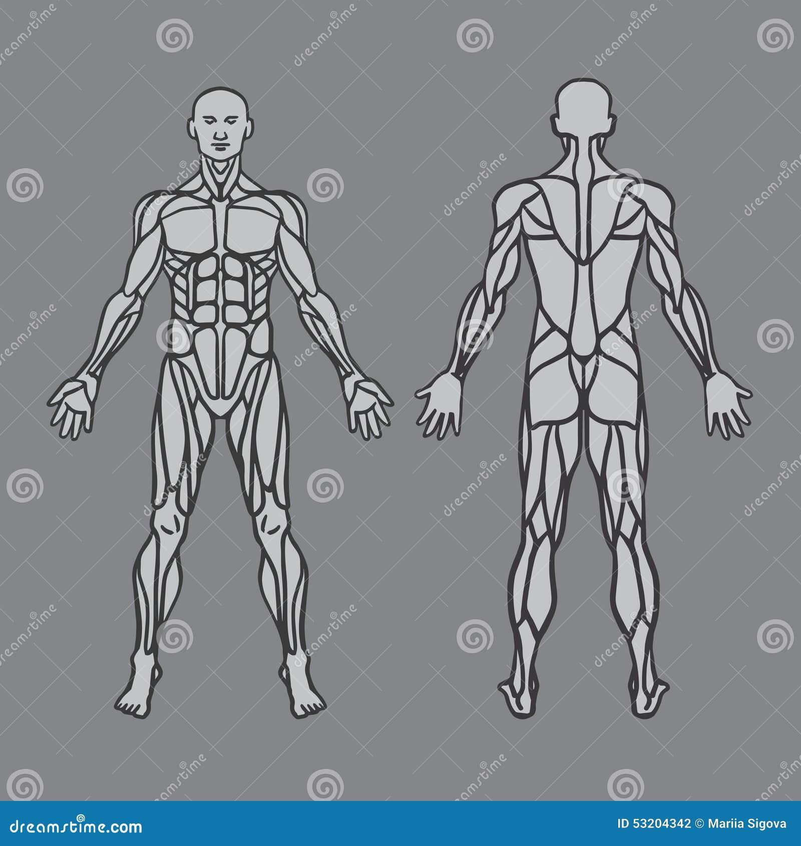 Anatomía Del Sistema Muscular Masculino, Ejercicio Y Ilustración del ...