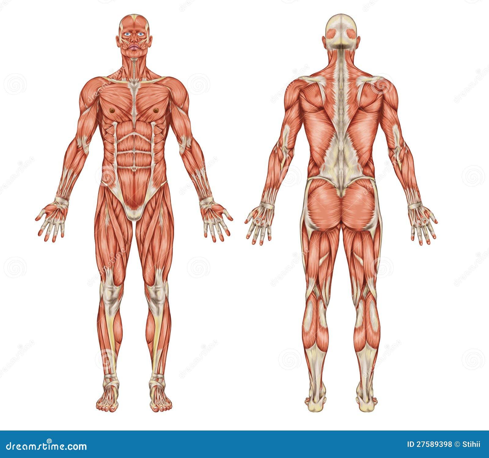 Anatomía Del Sistema Muscular Masculino - Trasero Y Stock de ...
