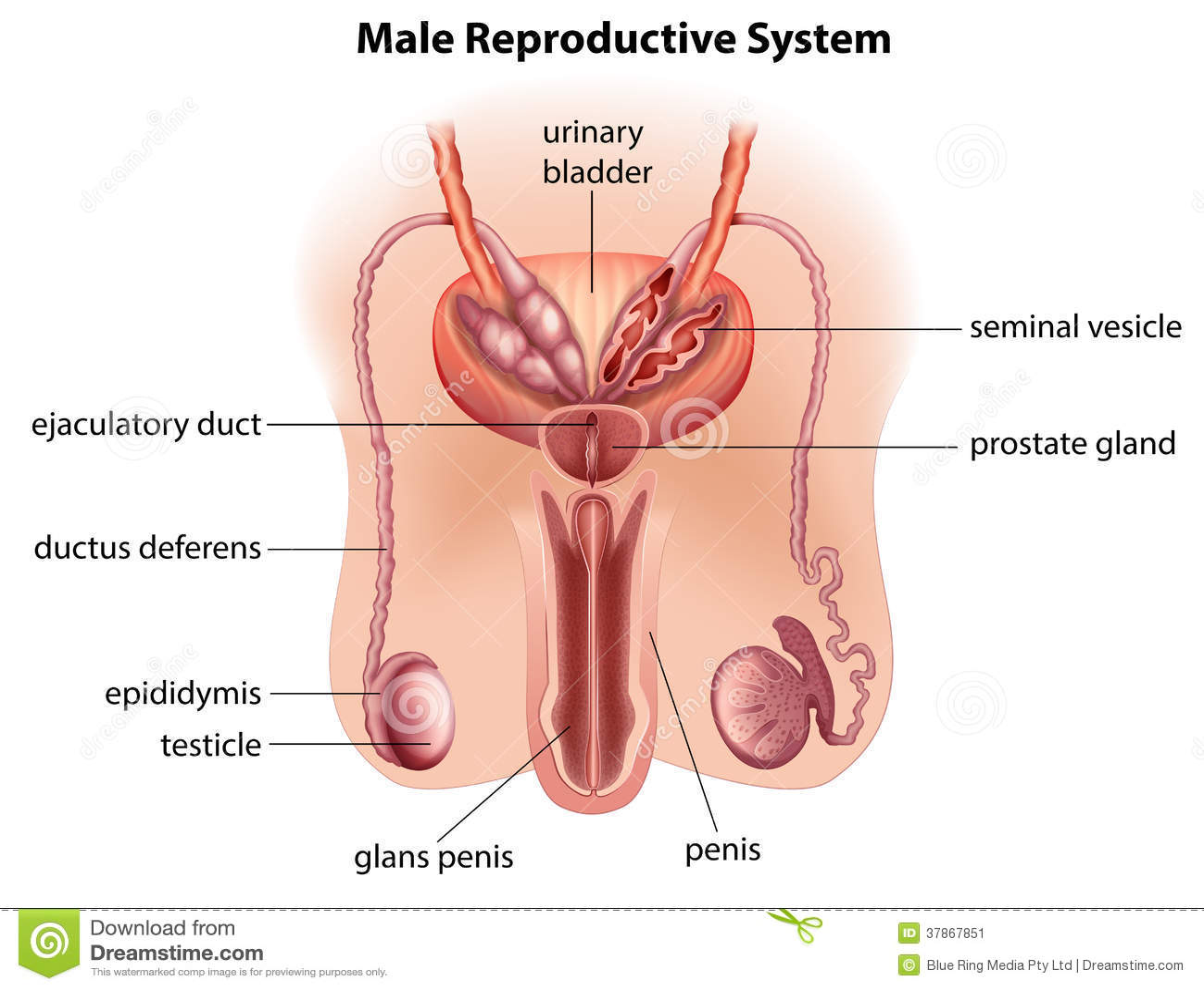 Anatomía Del Sistema Reproductivo Masculino Stock de ilustración ...
