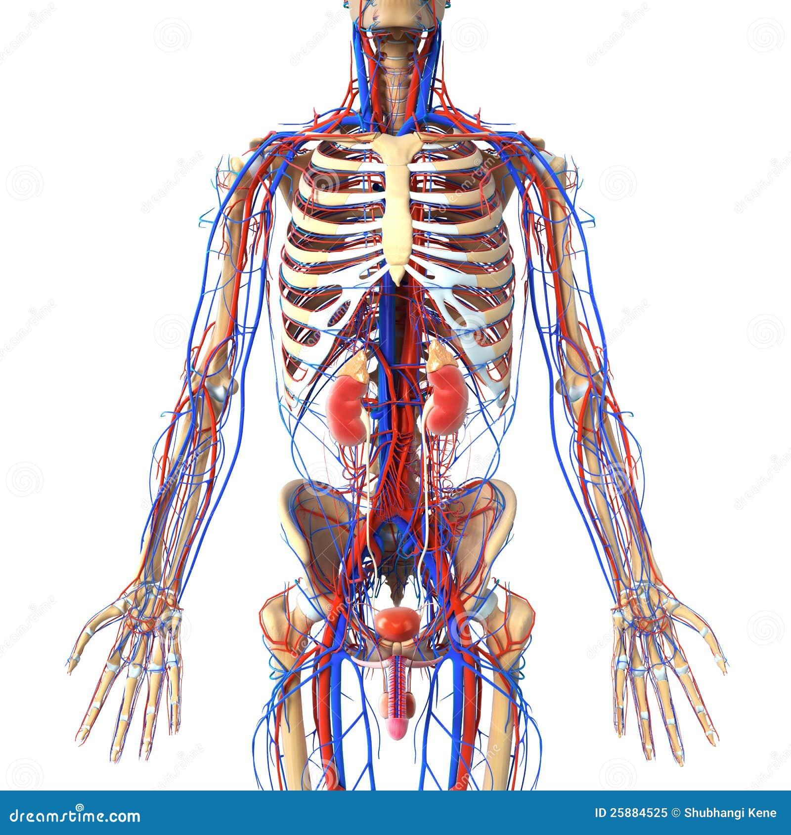 Perfecto Anatomía Del Sistema Arterial Friso - Imágenes de Anatomía ...