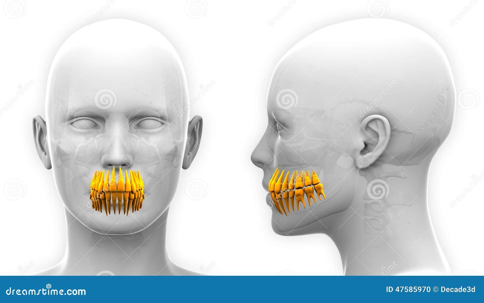 Anatomía Dental De Los Dientes Femeninos - Aislada En Blanco Stock ...
