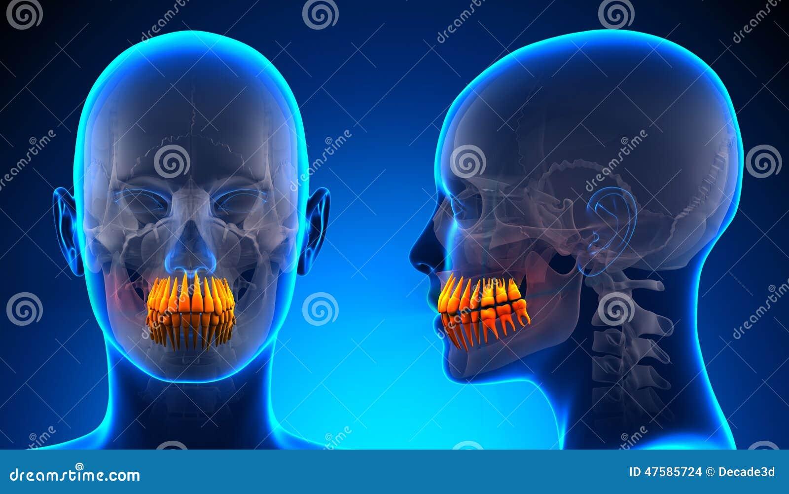 Anatomía Dental De Los Dientes Femeninos - Concepto Azul Stock de ...
