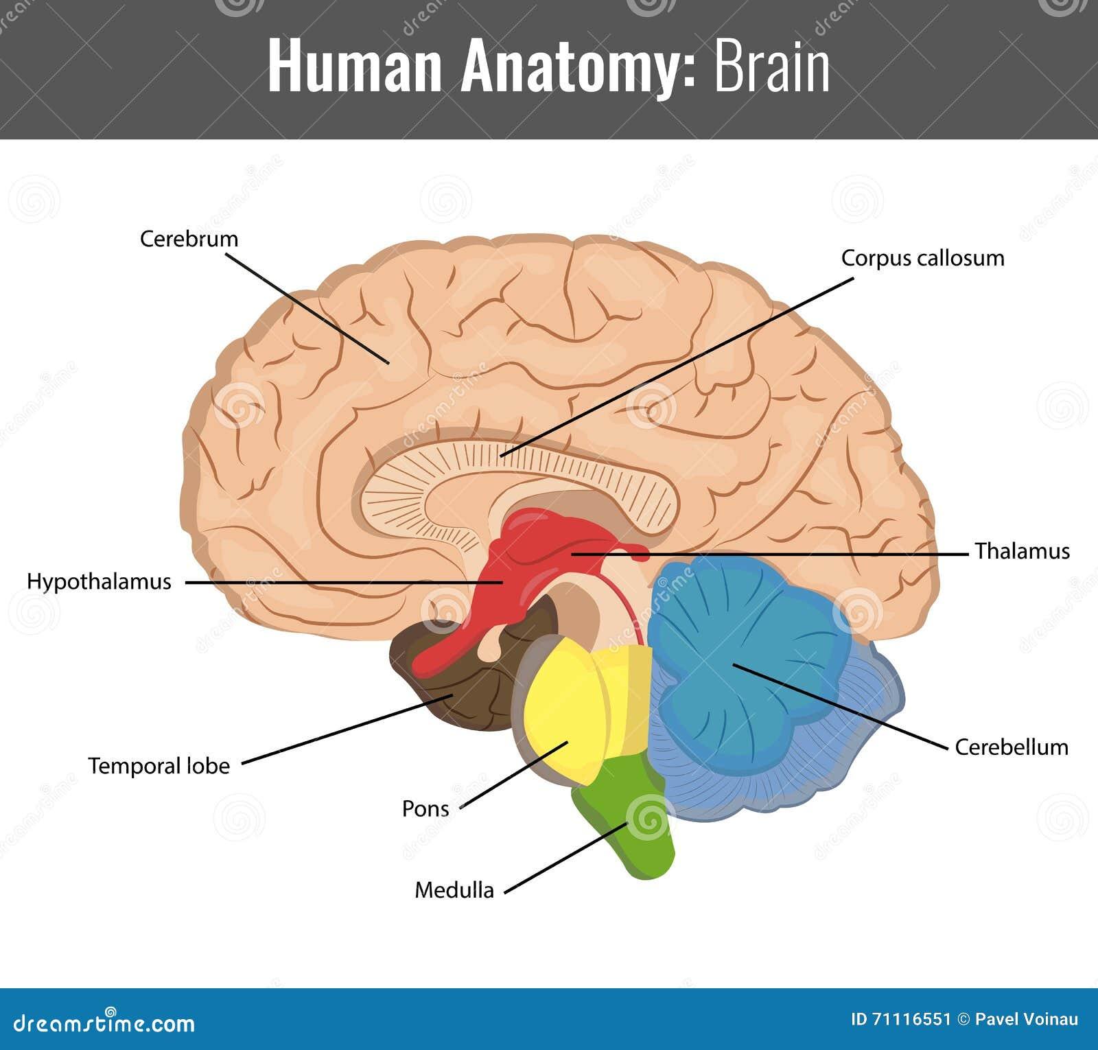 Anatomía detallada del cerebro humano Vector médico