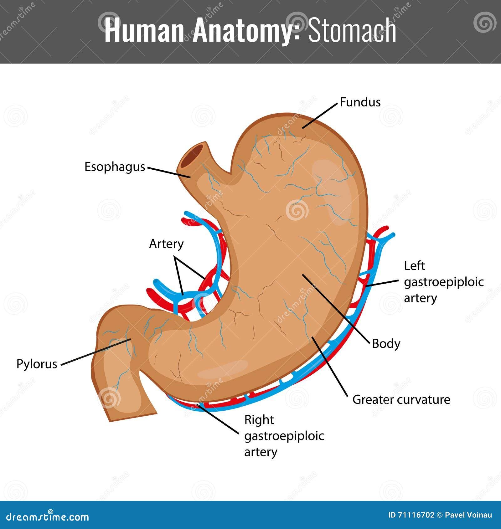Excepcional Anatomía Del Pecho Y El Estómago Elaboración - Imágenes ...