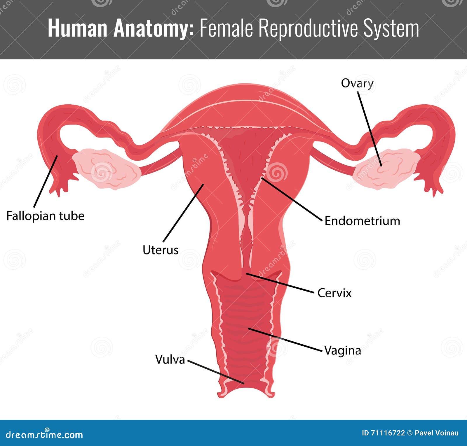 Anatomía Detallada Femenina Del Sistema Reproductivo Vector Médico ...
