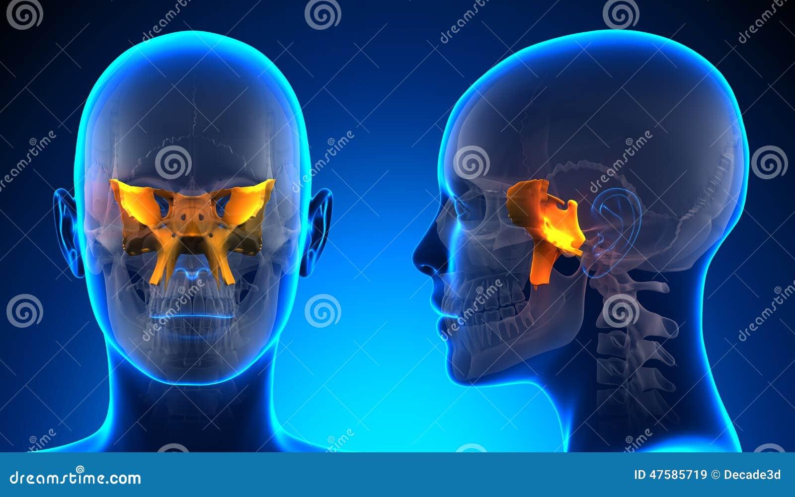 Anatomía Esfenoidal Femenina Del Cráneo - Concepto Azul Stock de ...