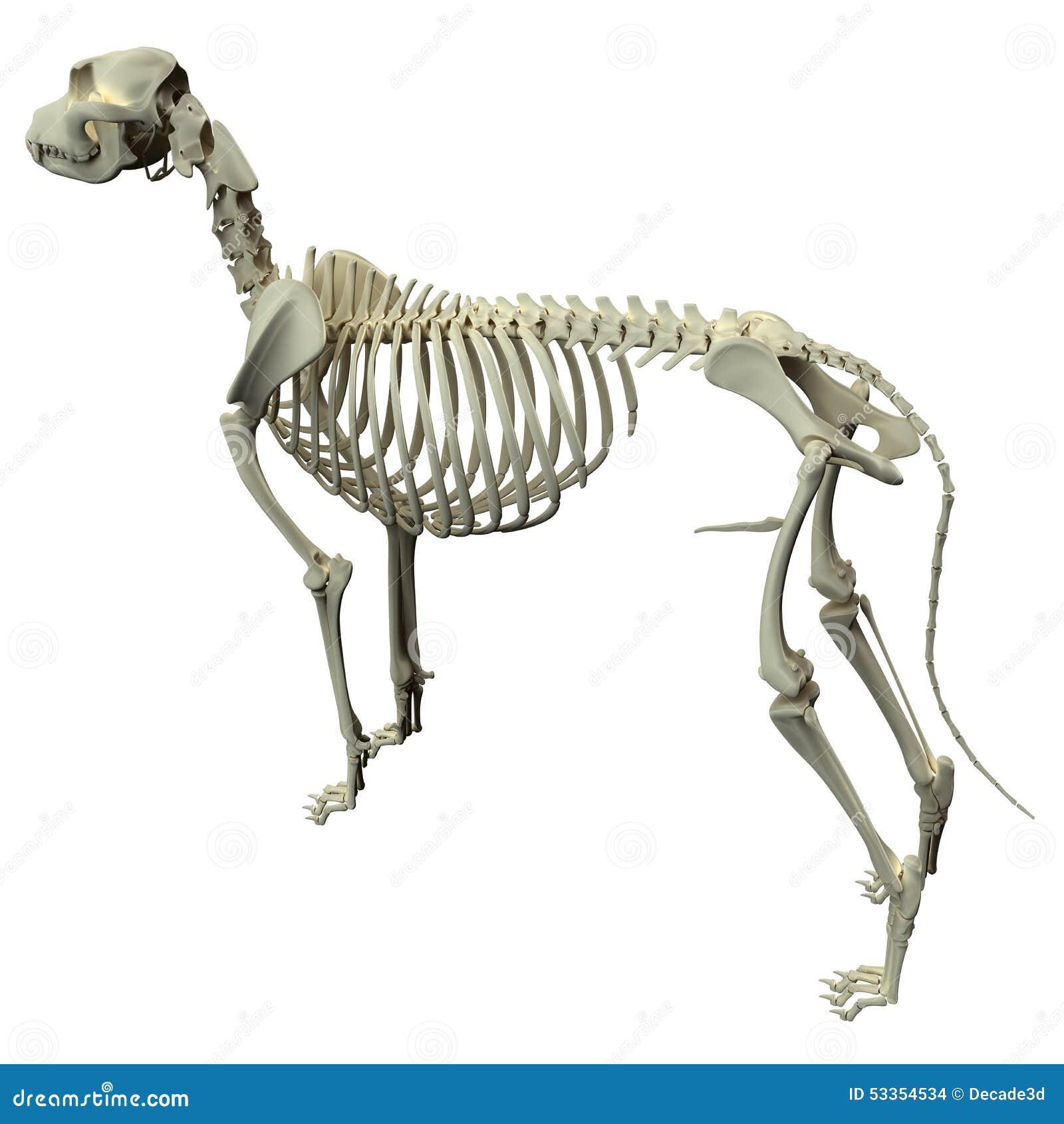 Famoso Bazo Anatomía Perro Componente - Imágenes de Anatomía Humana ...