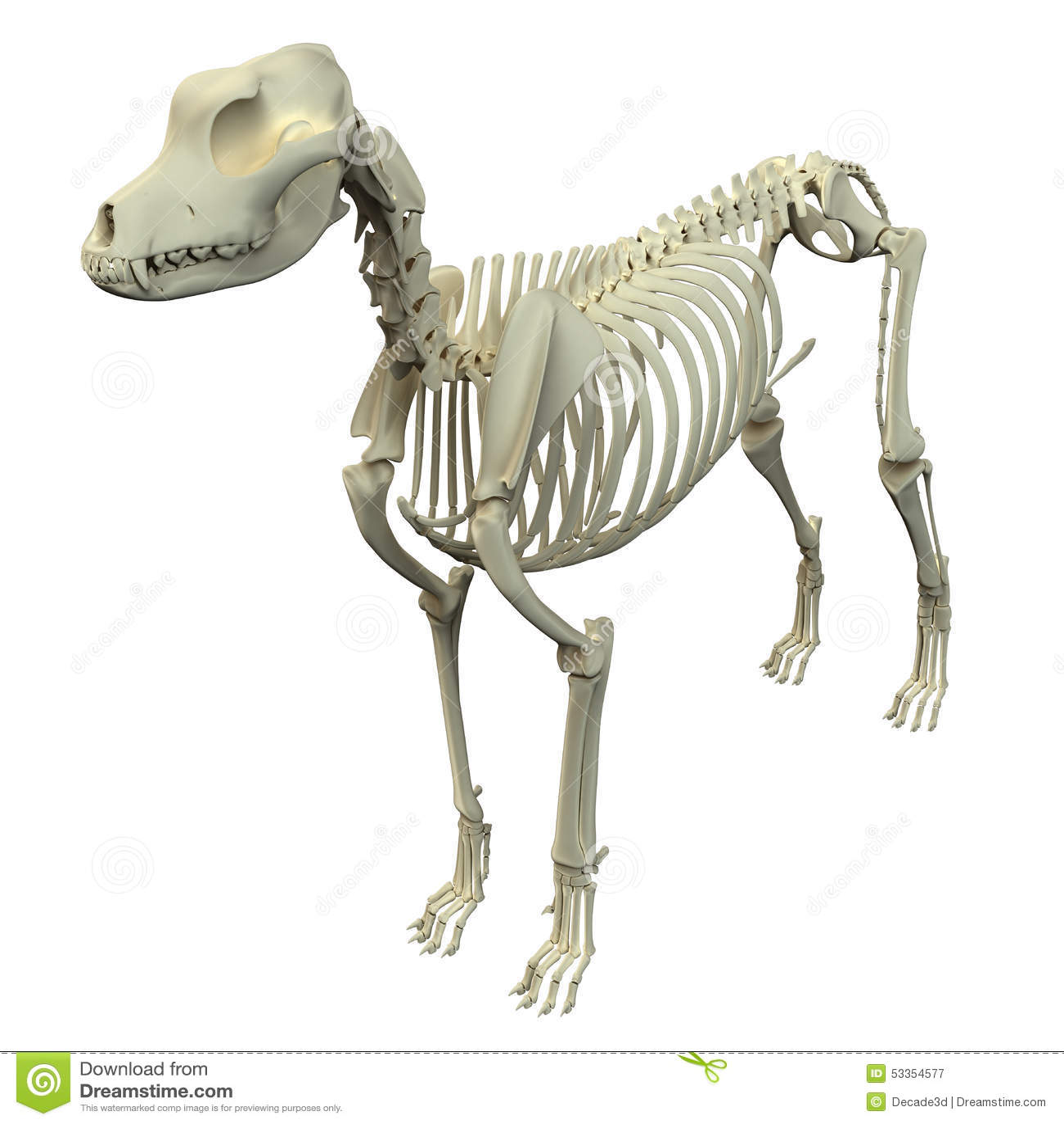 Anatomía Esquelética Del Perro - Anatomía De Un Esqueleto Masculino ...