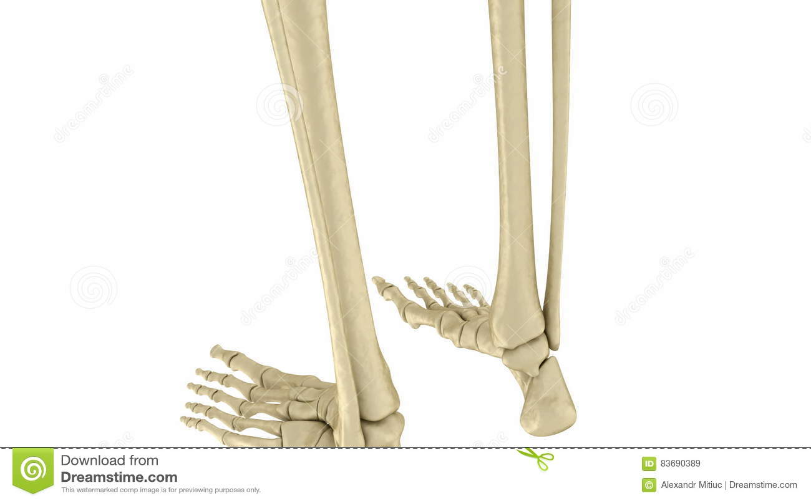 Hermosa Esqueleto De Pie Viñeta - Imágenes de Anatomía Humana ...