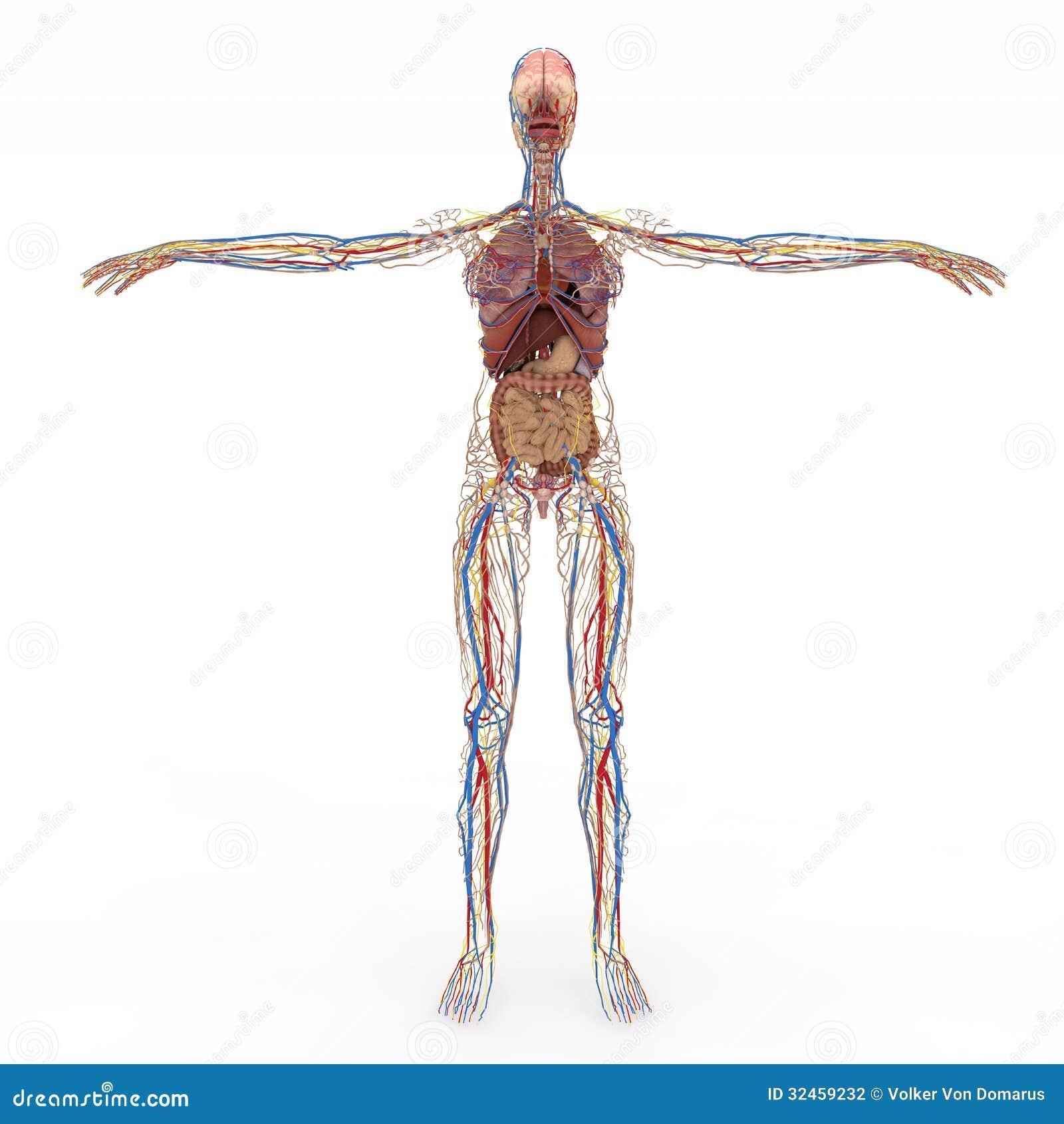 Anatomía femenina stock de ilustración. Ilustración de anatómico ...