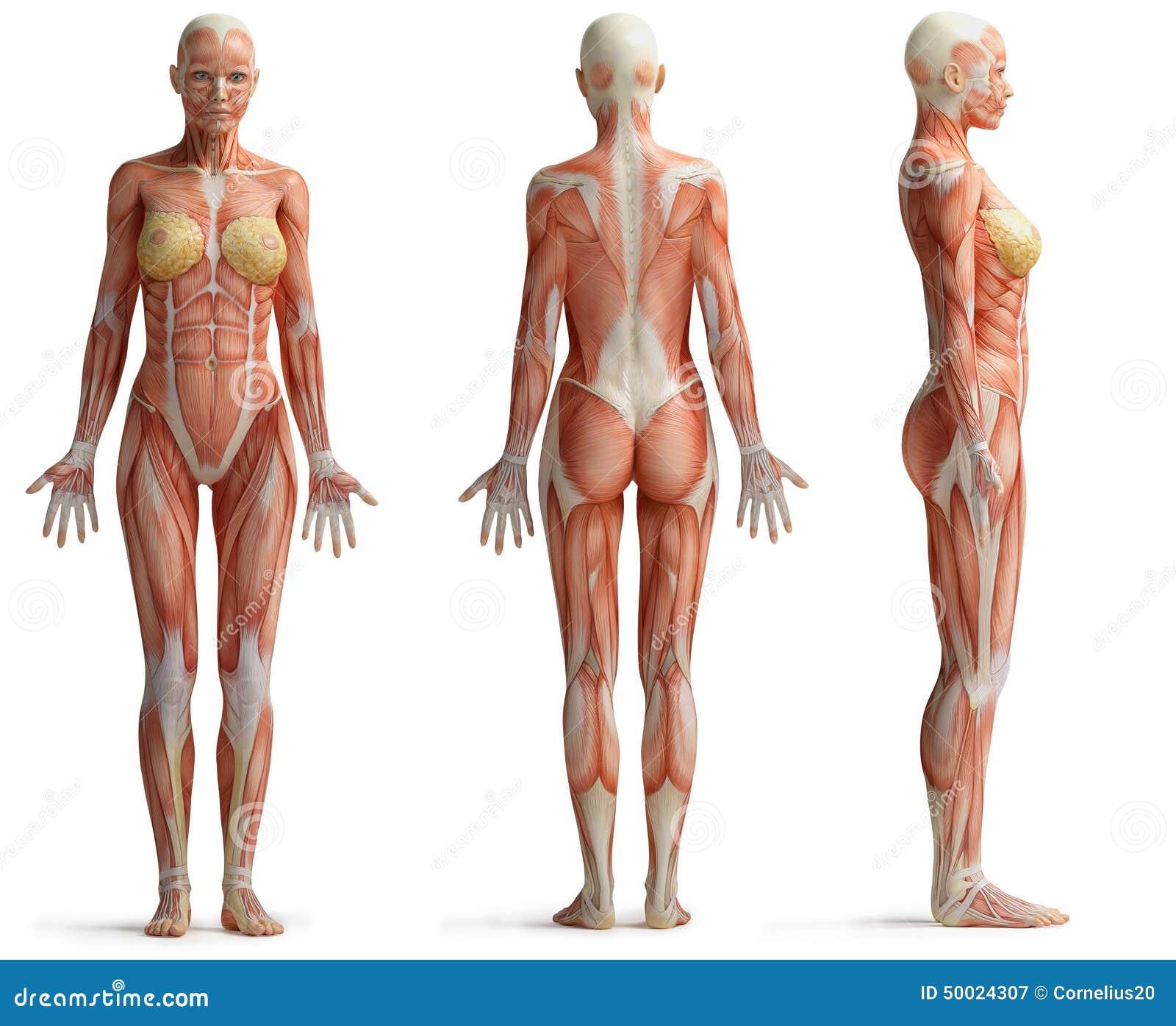Anatomía femenina stock de ilustración. Ilustración de muscular ...