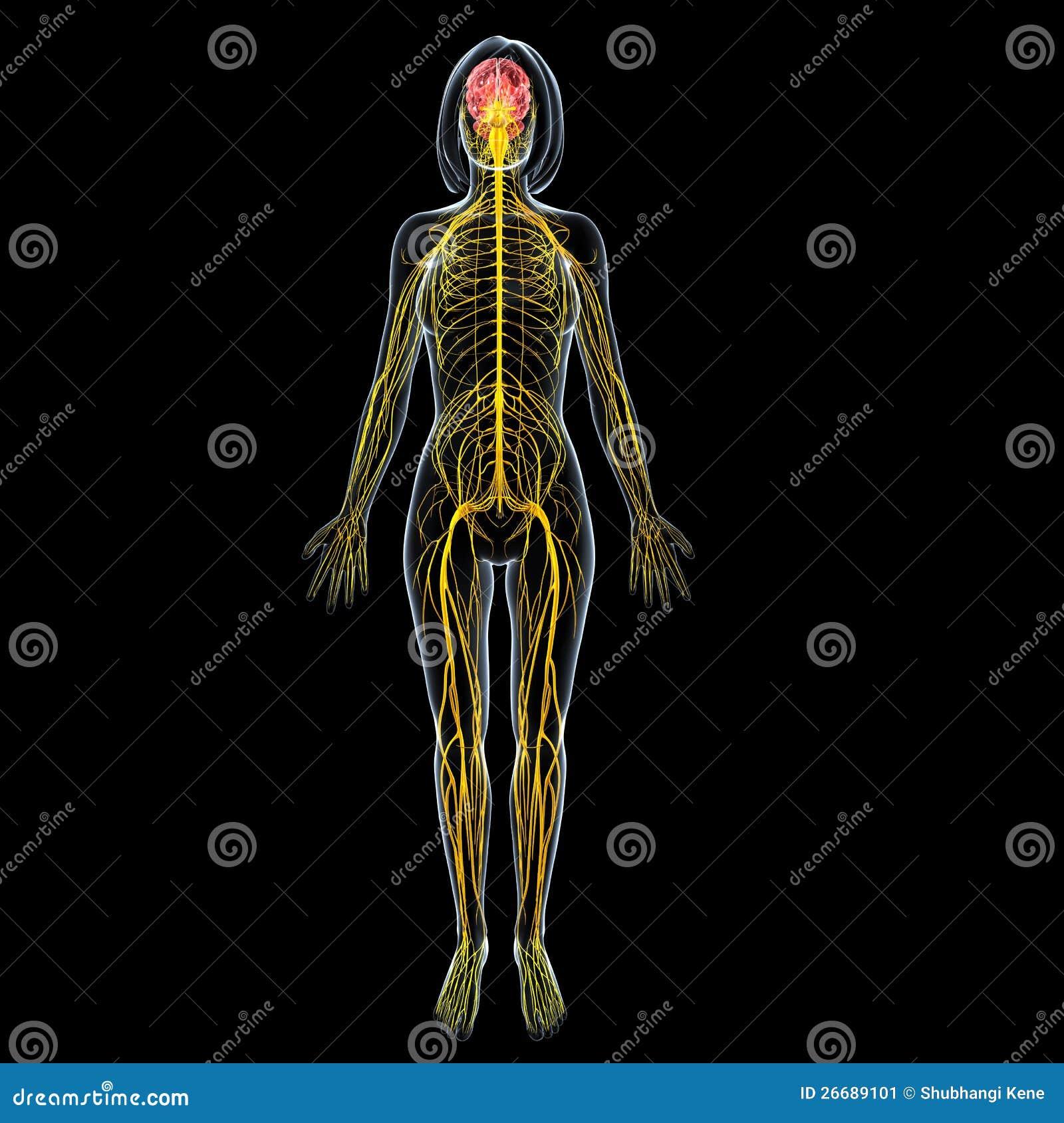 Anatomía Femenina Del Cerebro Con El Sistema Nervioso Del Cuerpo ...
