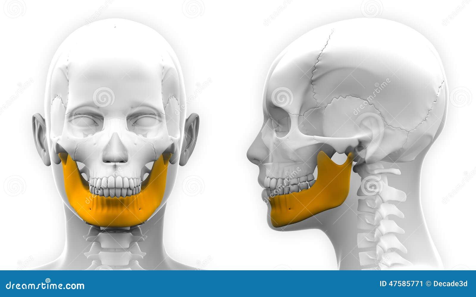 Anatomía Femenina Del Cráneo Del Hueso De La Mandíbula - Aislada En ...