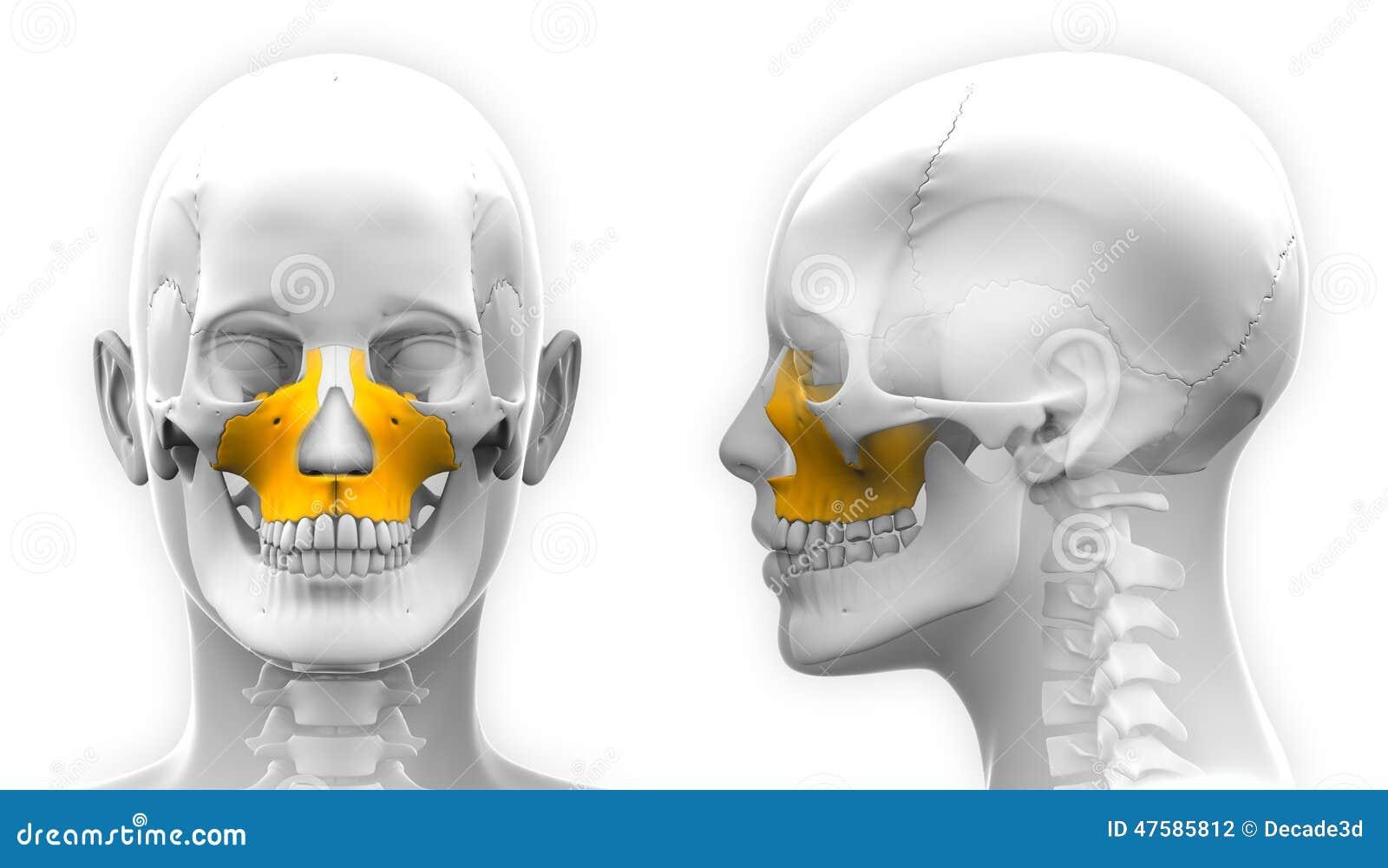 Anatomía Femenina Del Cráneo Del Hueso Del Maxilar - Aislada En ...