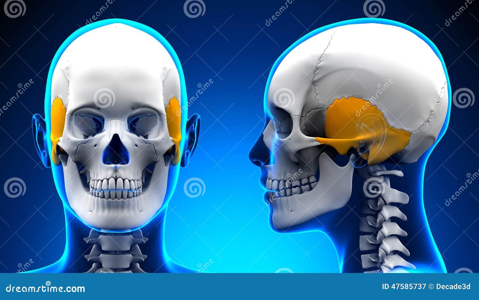 Hueso Temporal Femenino - Anatomía Del Cráneo/del Cráneo Stock de ...