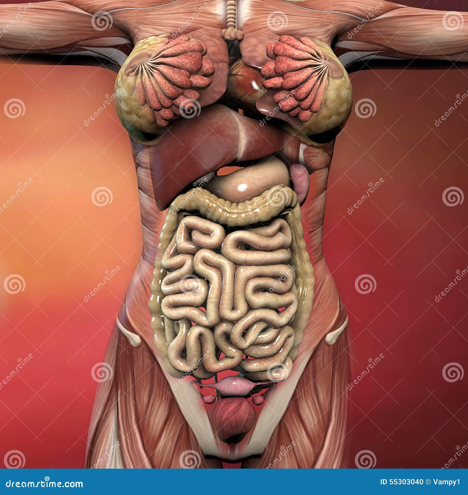 Excepcional órganos Del Cuerpo Femenino Galería - Anatomía de Las ...