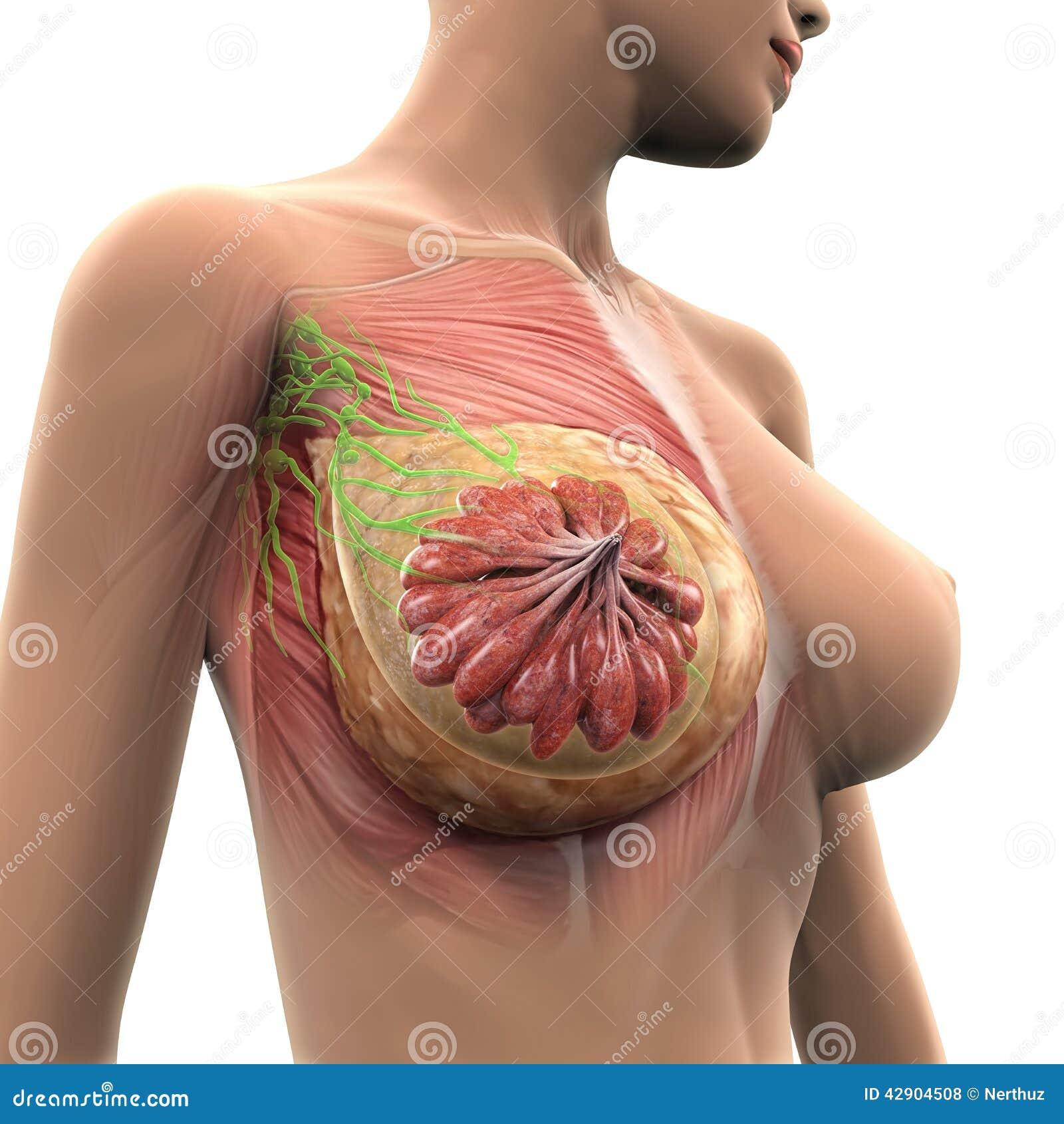 Anatomía Del Pecho Femenino Ilustración del Vector - Ilustración de ...