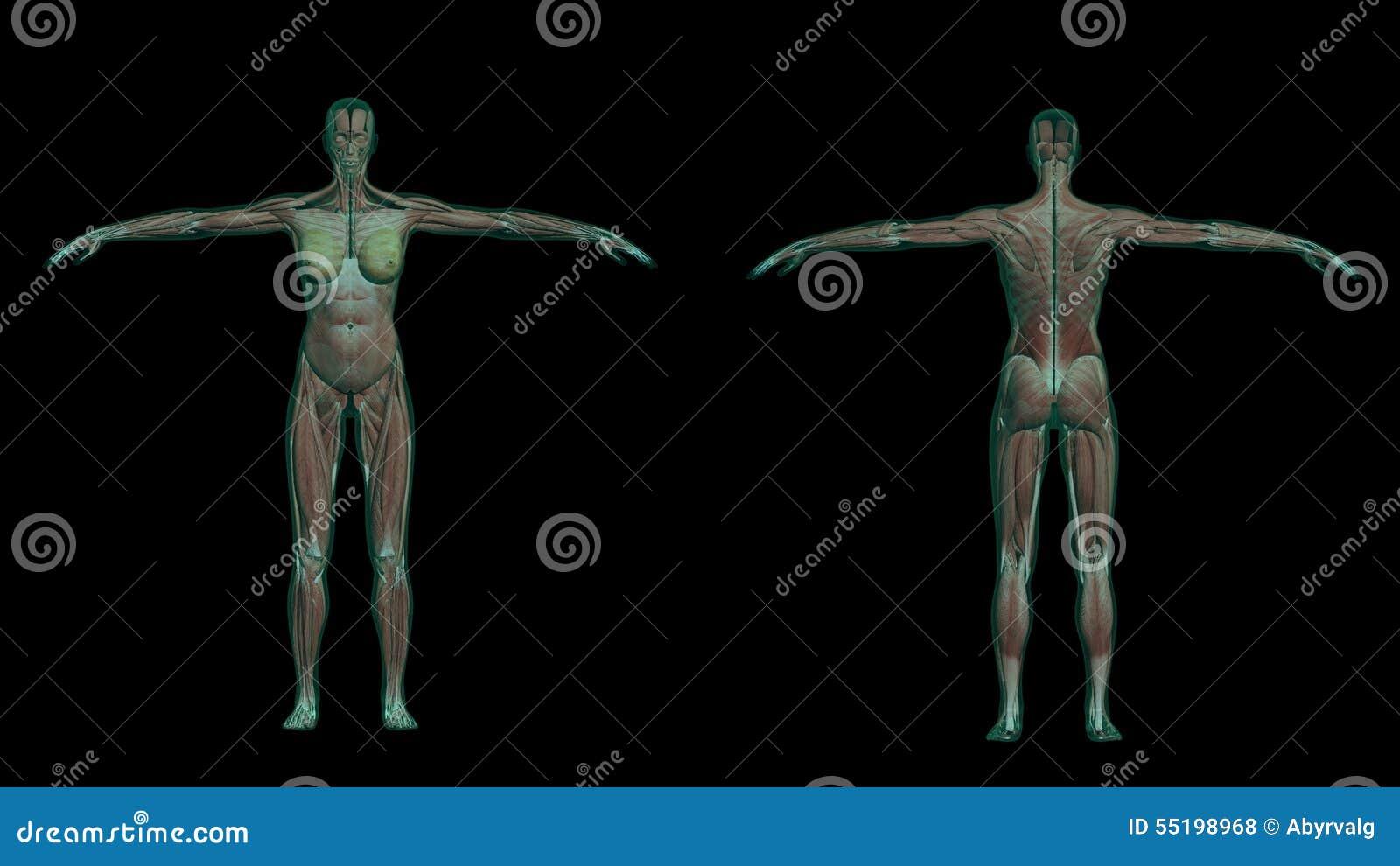 Anatomía Femenina Humana Con Los Músculos Y El Esqueleto Stock de ...