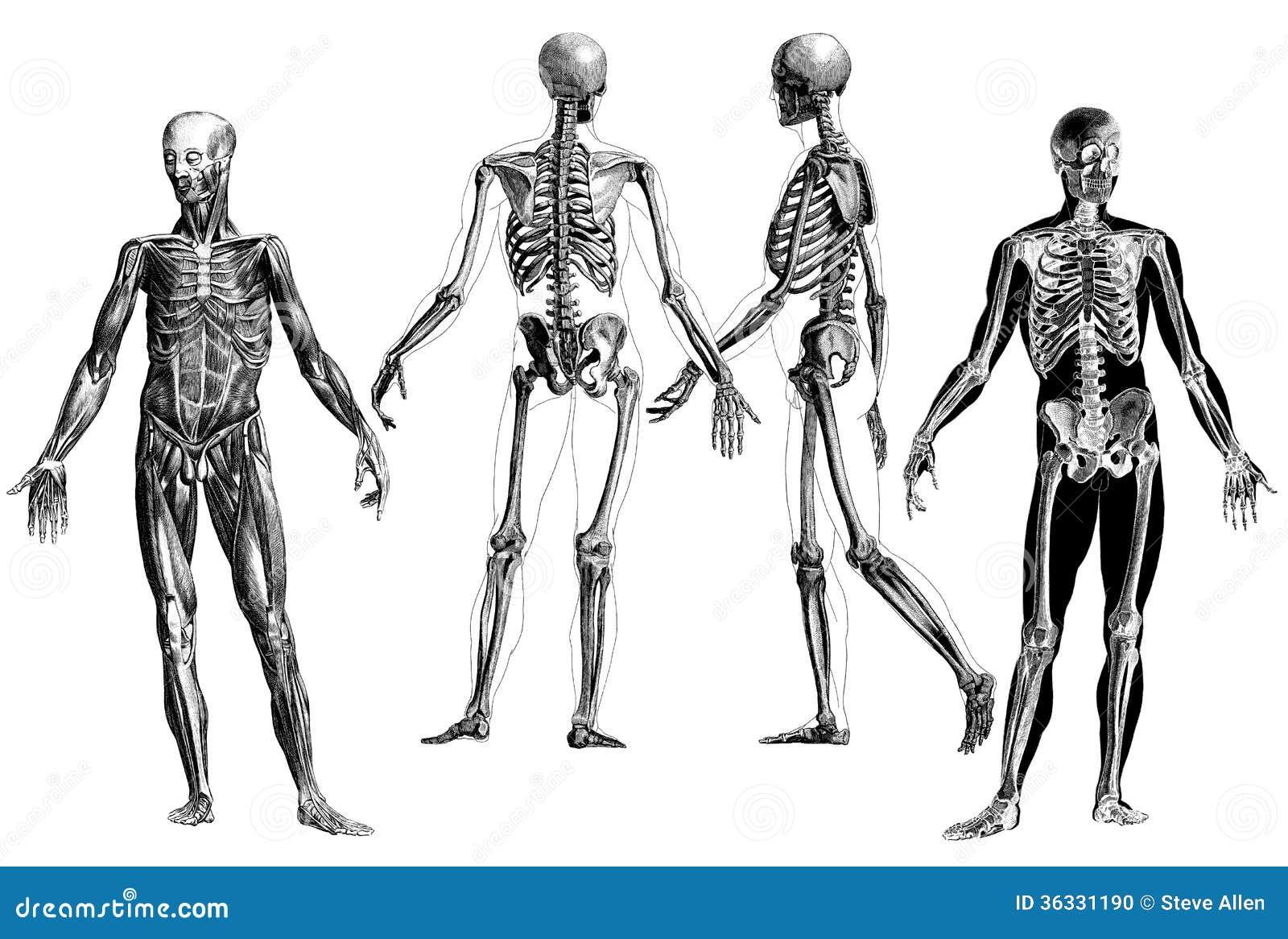 Anatomía - Grabados Anatómicos Victorianos Imagen editorial ...