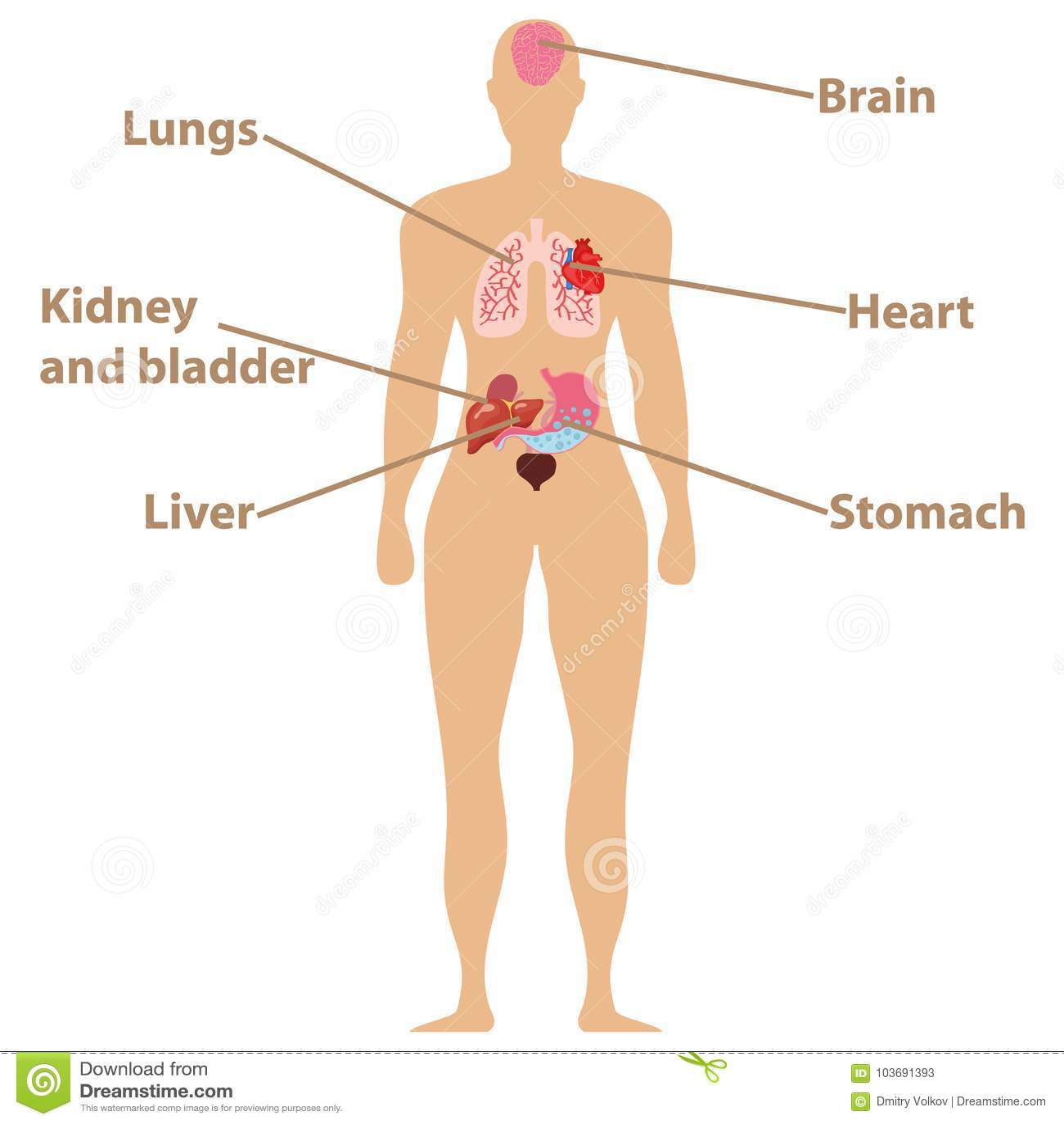Anatomía Humana Órganos Humanos, Corazón, Cerebro, Hígado, Estómago ...