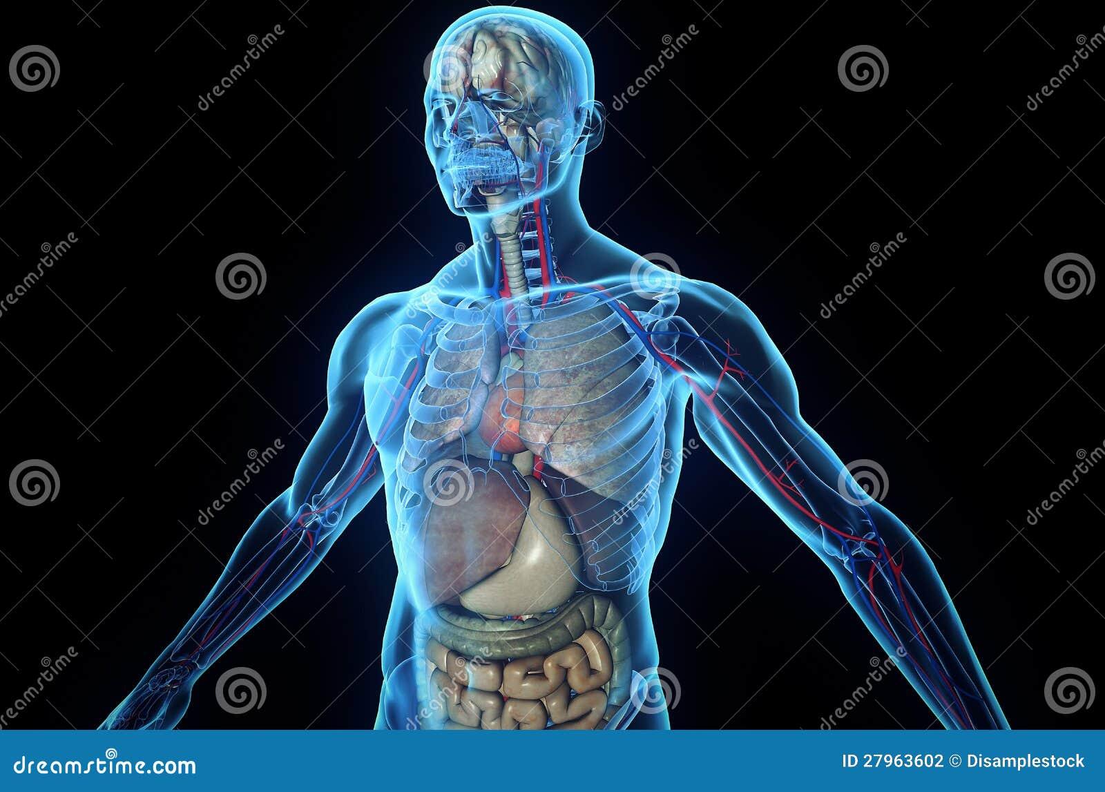 Perfecto Modelos De La Anatomía Humana 3d Modelo - Imágenes de ...