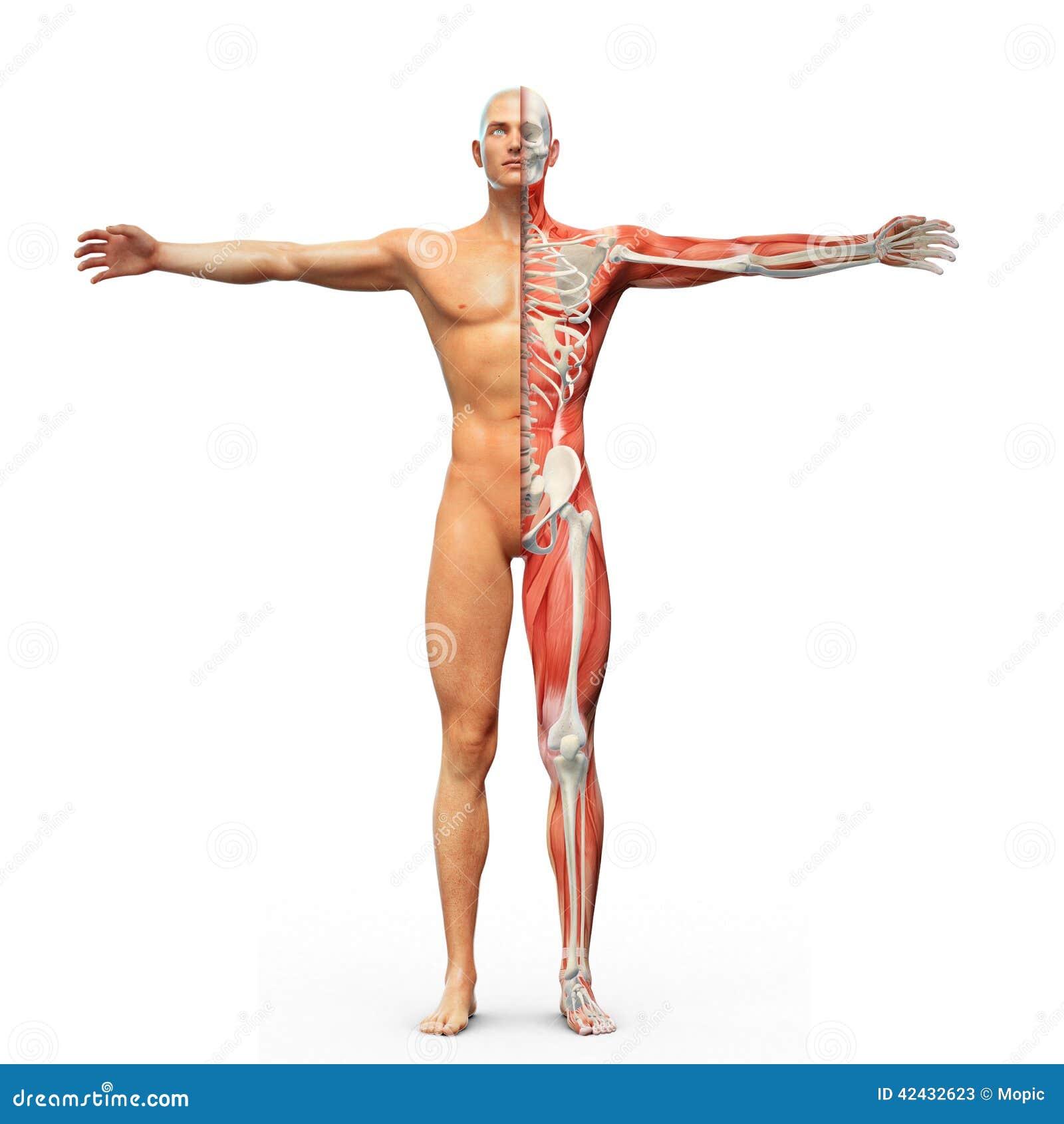 Anatomía humana stock de ilustración. Ilustración de medicina - 42432623