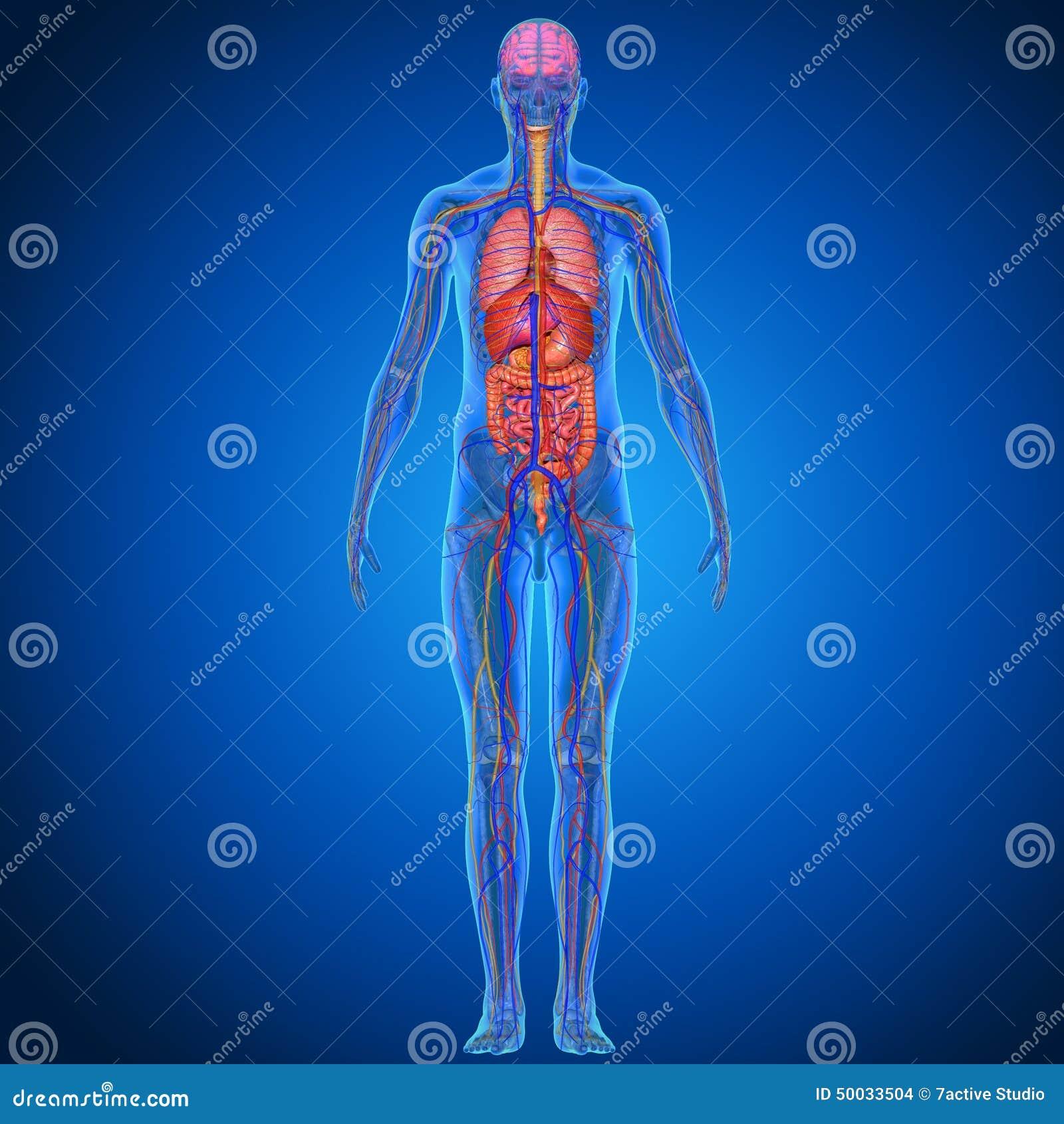 Anatomía humana stock de ilustración. Ilustración de básico - 50033504
