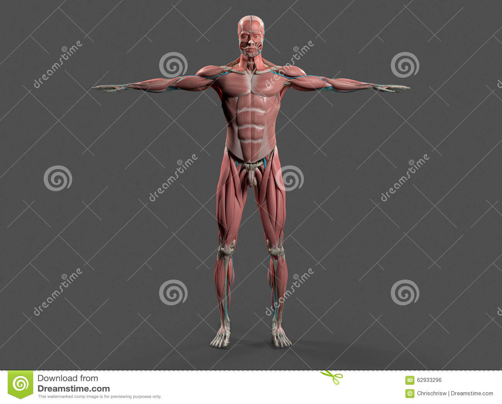 Anatomía Humana Con Vista Delantera Del Cuerpo Completo Foto de ...