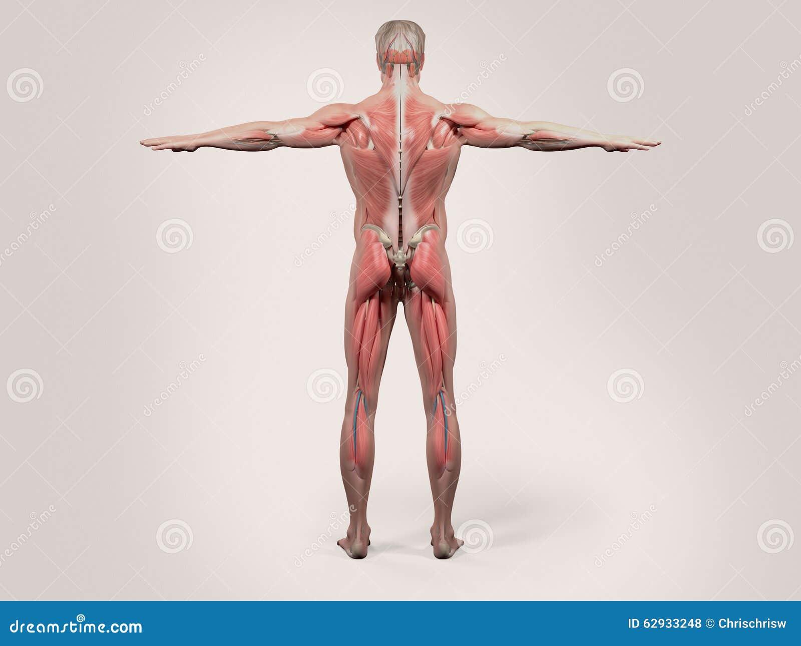 Magnífico Superiores Anatomía Imágenes Traseras Motivo - Anatomía de ...