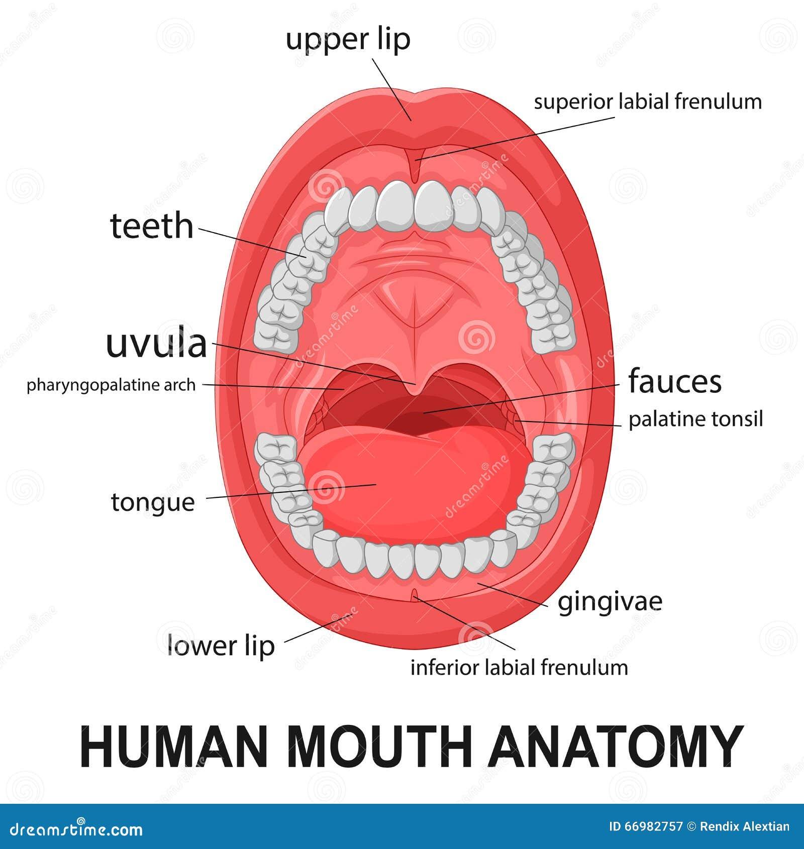 Anatomía humana de la boca ilustración del vector. Ilustración de ...