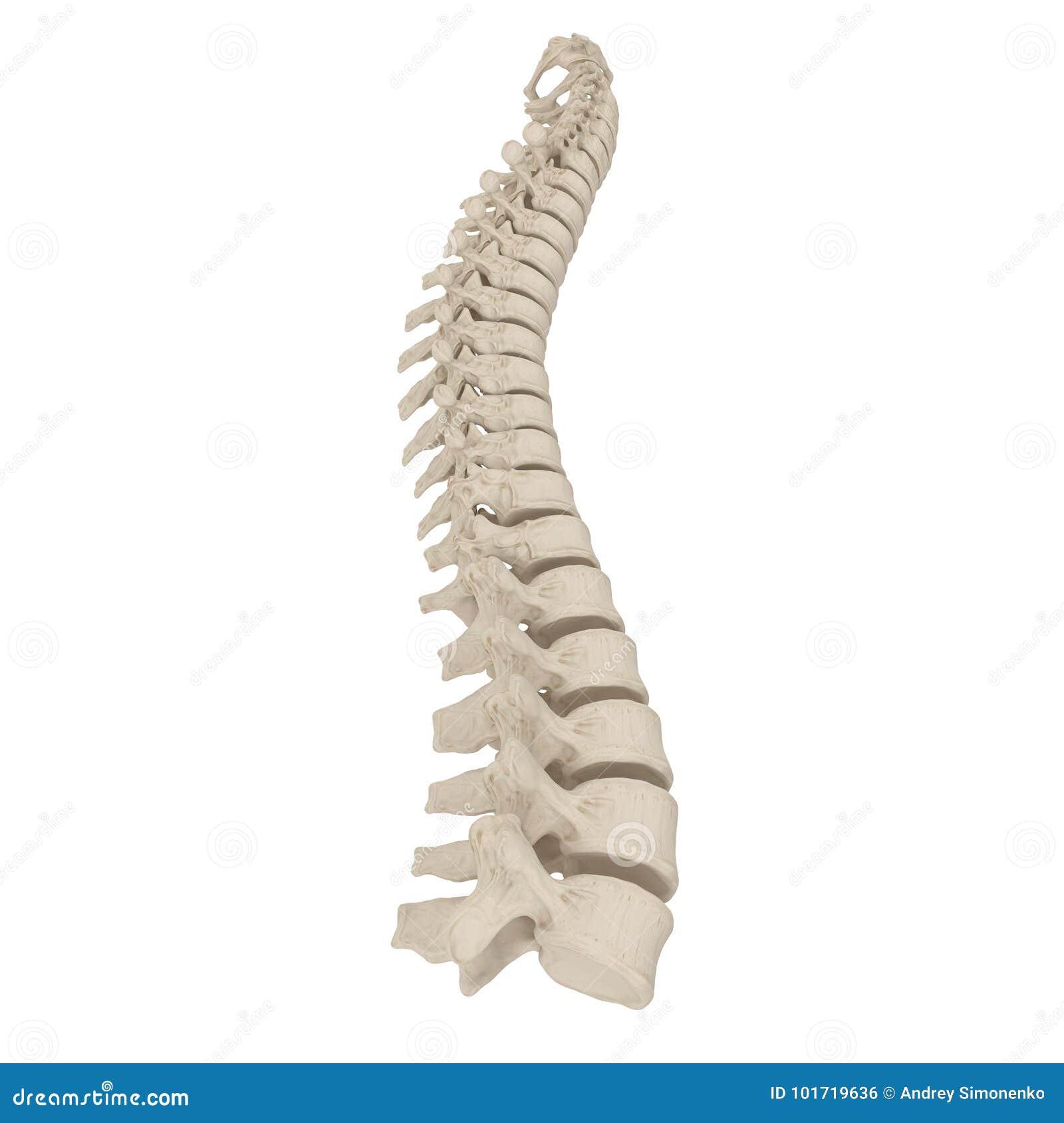 Anatomía Humana De La Espina Dorsal Lumbar En Blanco Ilustración 3D ...