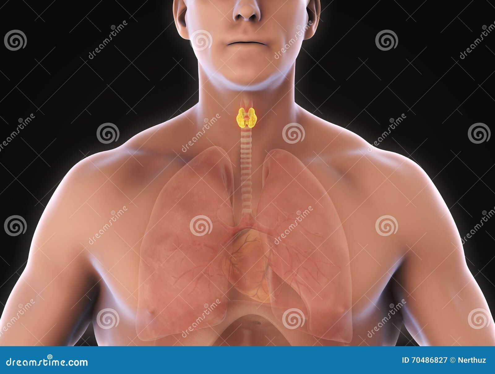 Anatomía Humana De La Glándula Tiroides Stock de ilustración ...