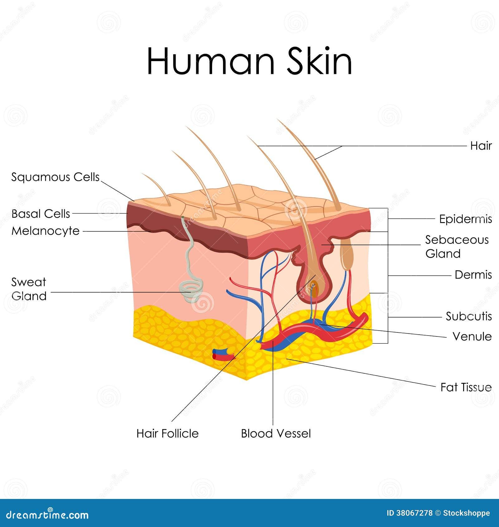 Lujoso Etiquetar El Diagrama De La Anatomía De La Piel Foto ...