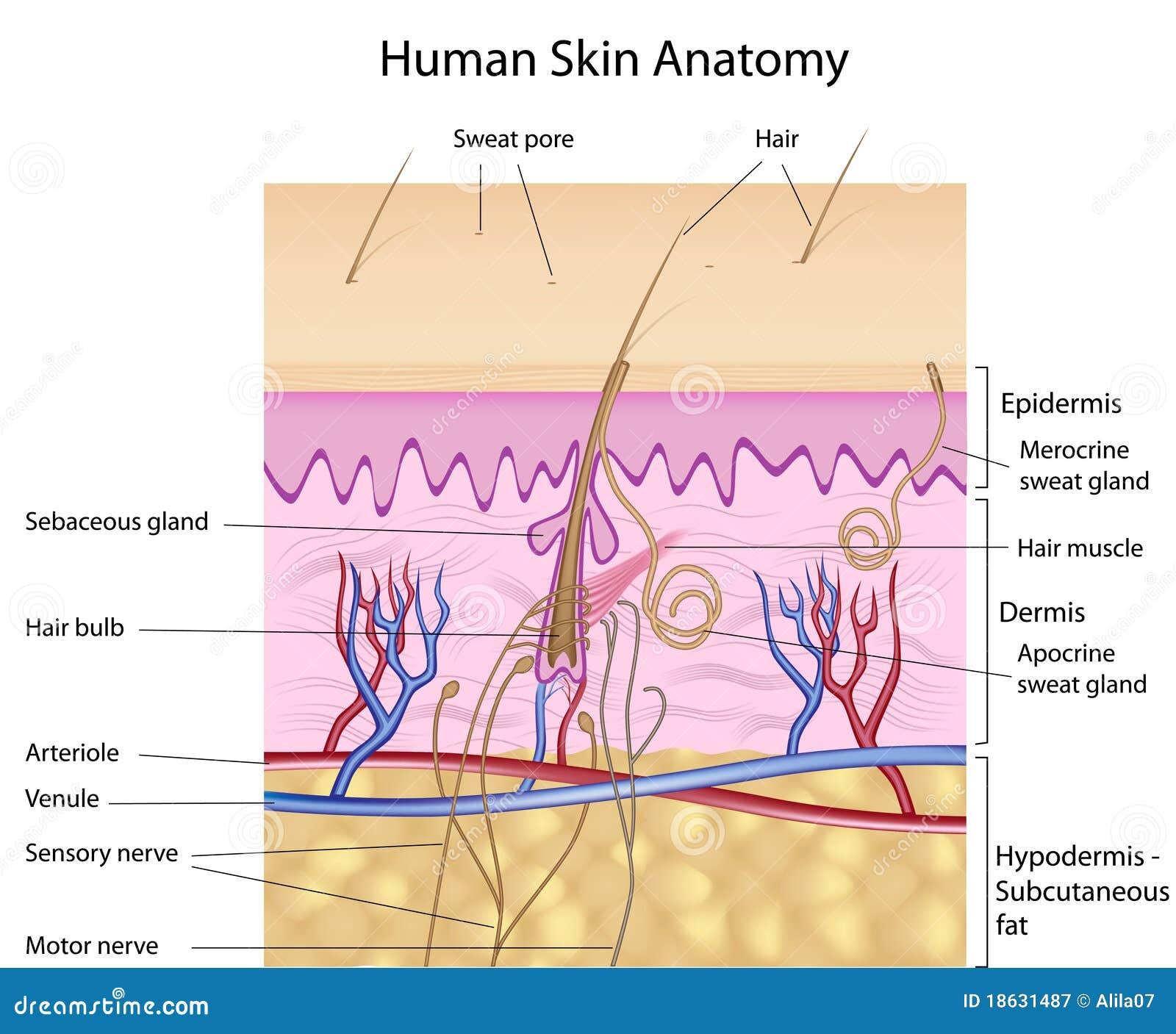 Anatomía Humana De La Piel, Etiquetada Versión Ilustración del ...