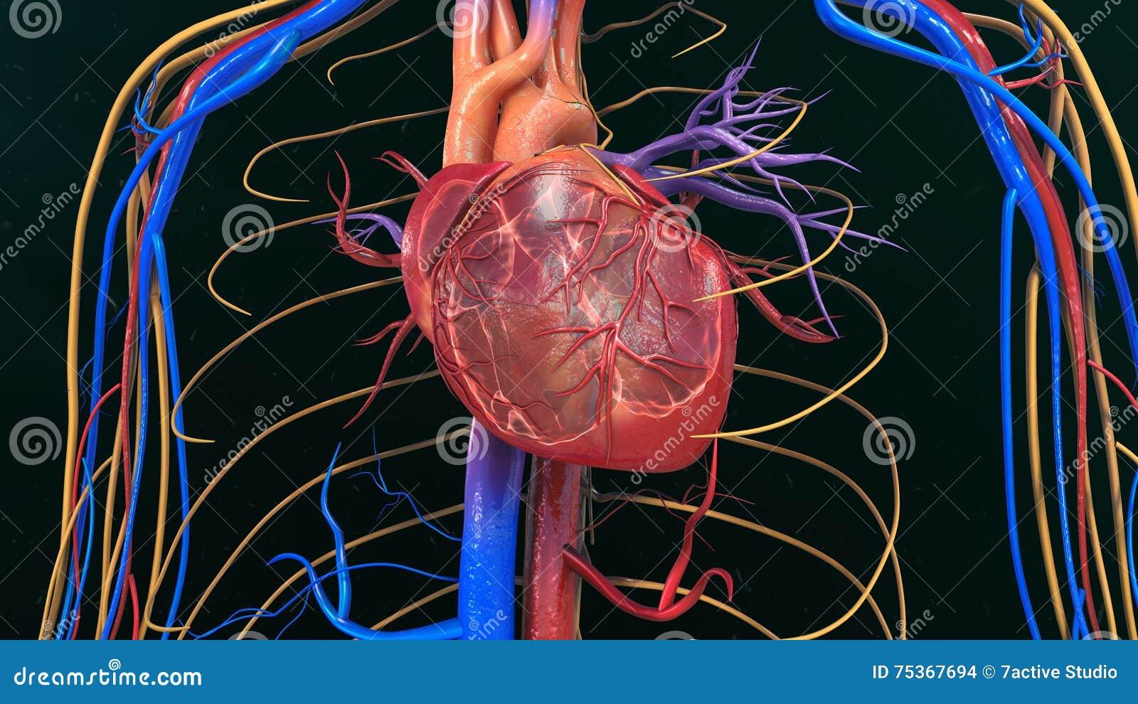 Anatomía Humana Del Corazón Foto de archivo - Imagen de órgano ...