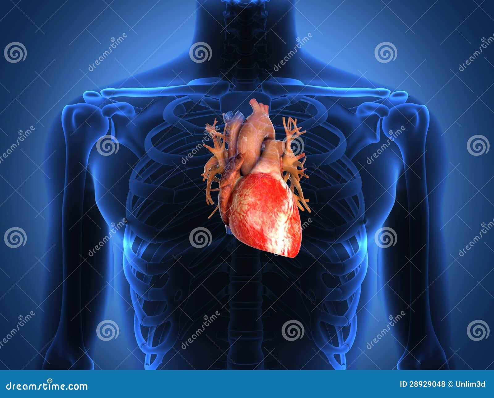 Anatomía Humana Del Corazón De Una Carrocería Sana Stock de ...