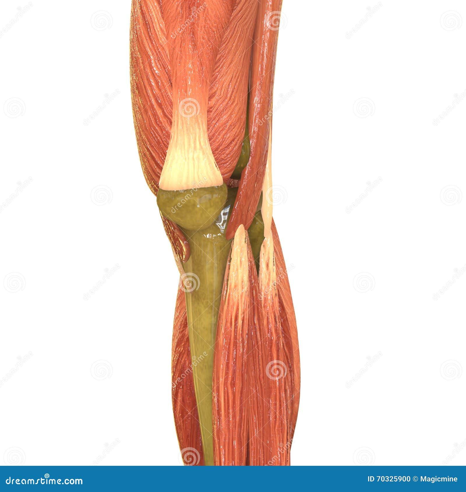 Anatomía Humana Del Cuerpo Del Músculo (piernas) Stock de ...