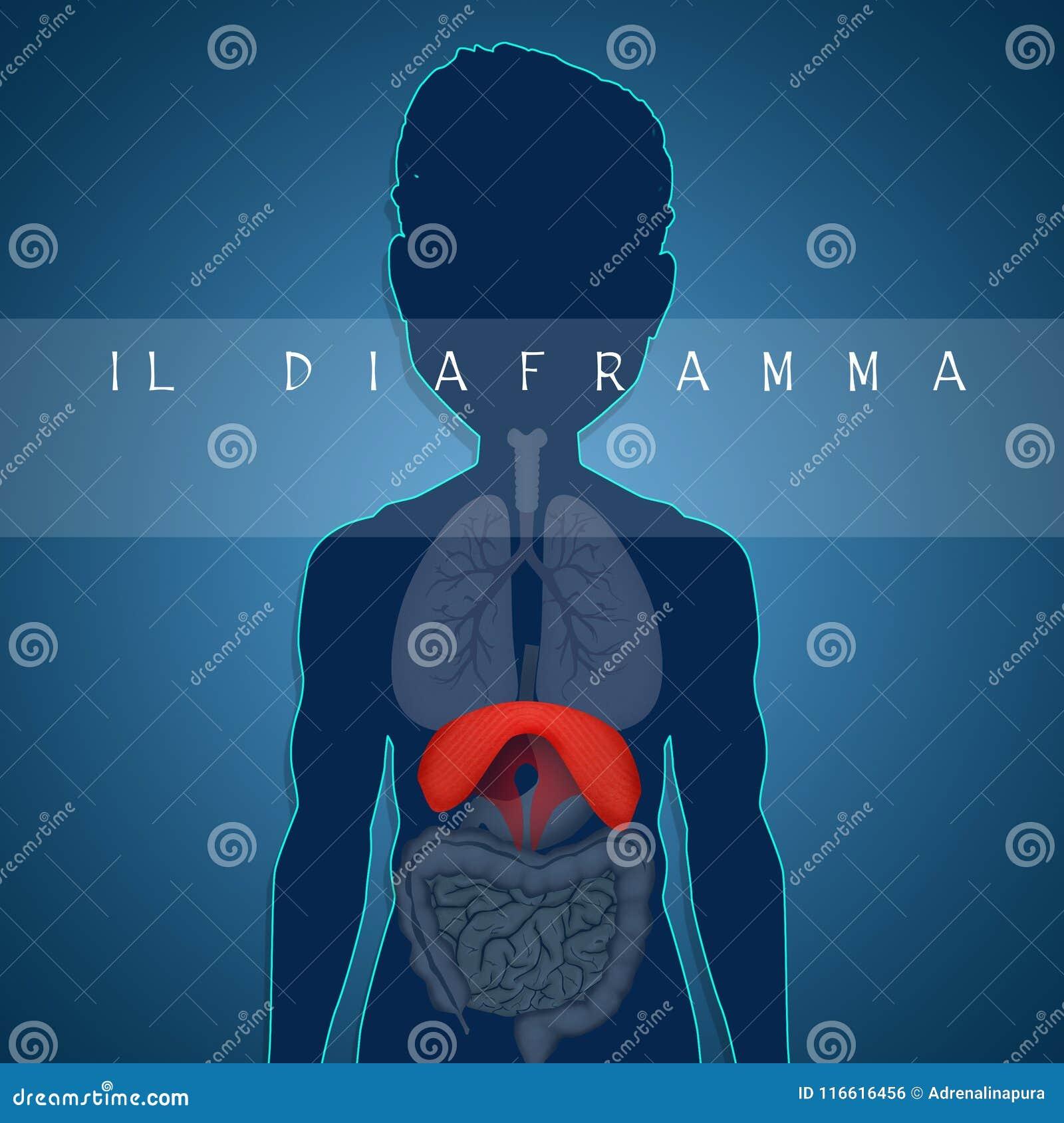 Anatomía Humana Del Diafragma Stock de ilustración - Ilustración de ...
