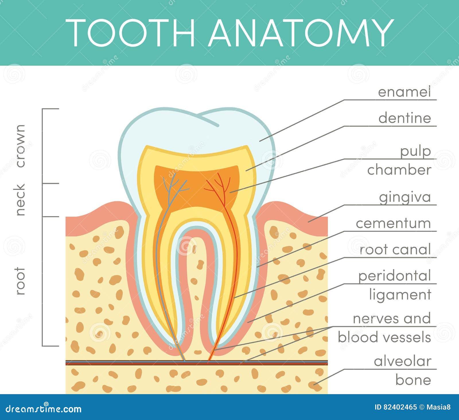 Anatomía humana del diente stock de ilustración. Ilustración de ...