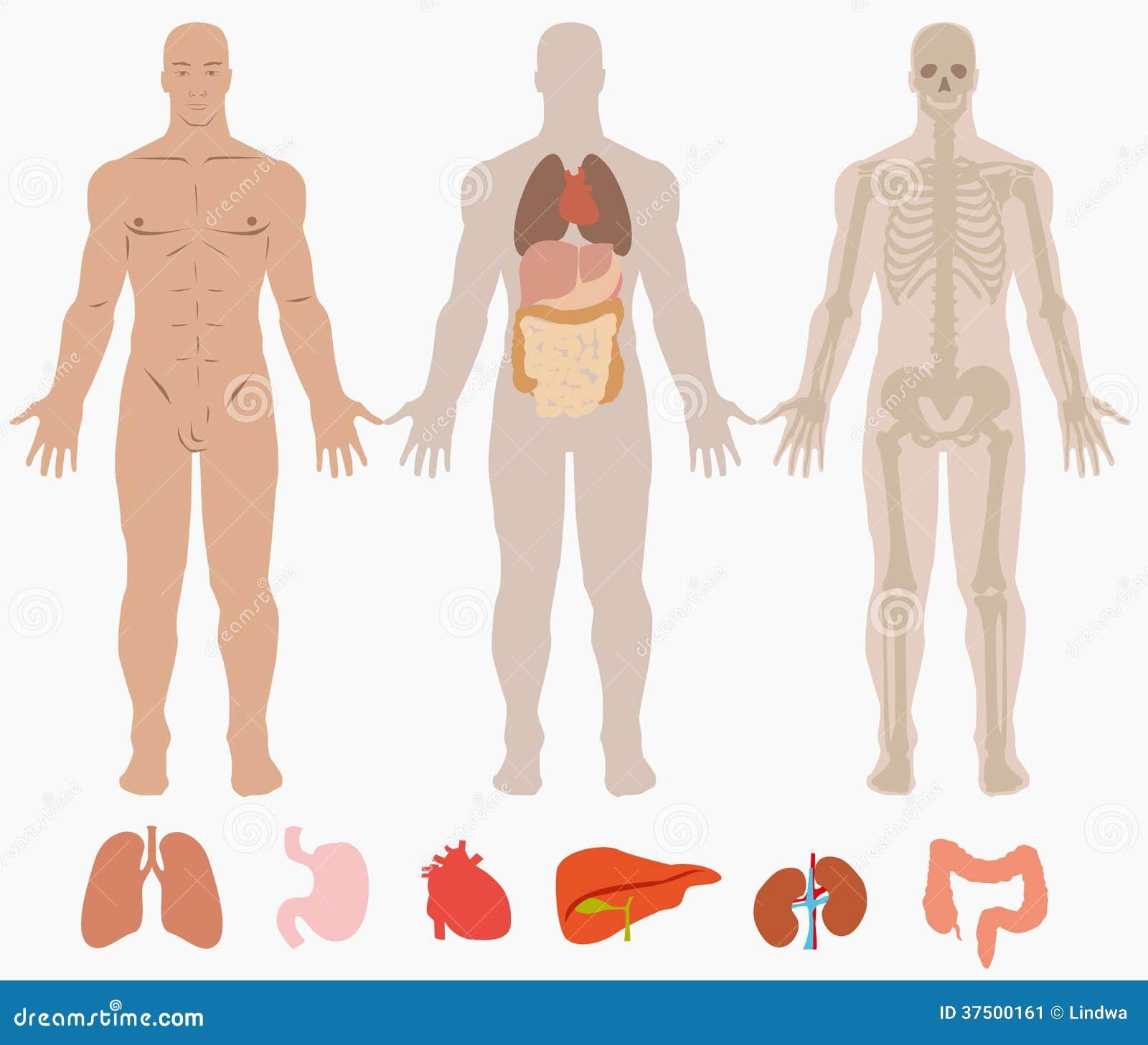 Anatomía humana del hombre ilustración del vector. Ilustración de ...