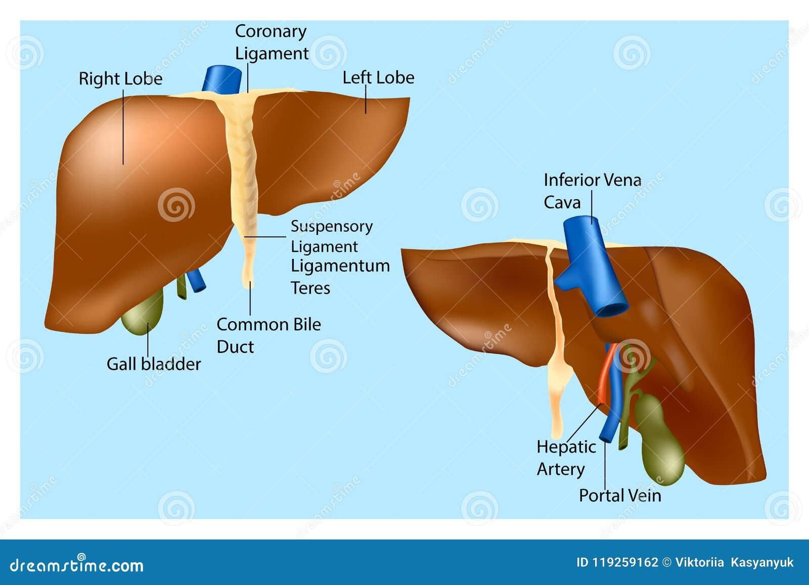 Anatomía humana del hígado ilustración del vector. Ilustración de ...