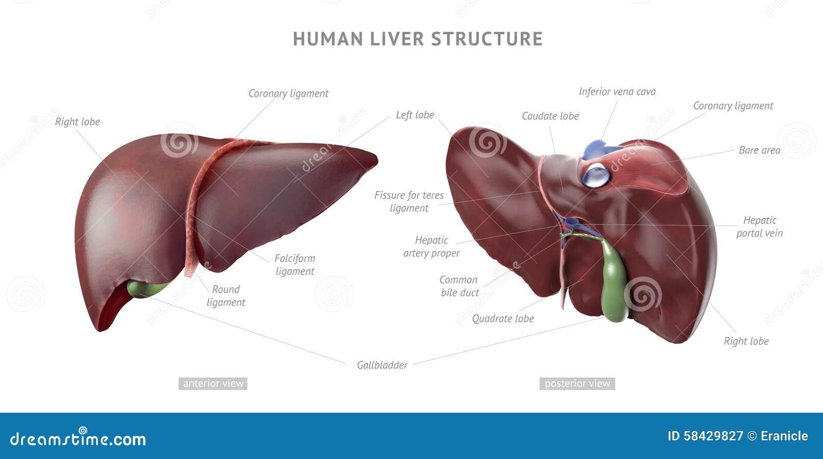 Anatomía humana del hígado stock de ilustración. Ilustración de ...