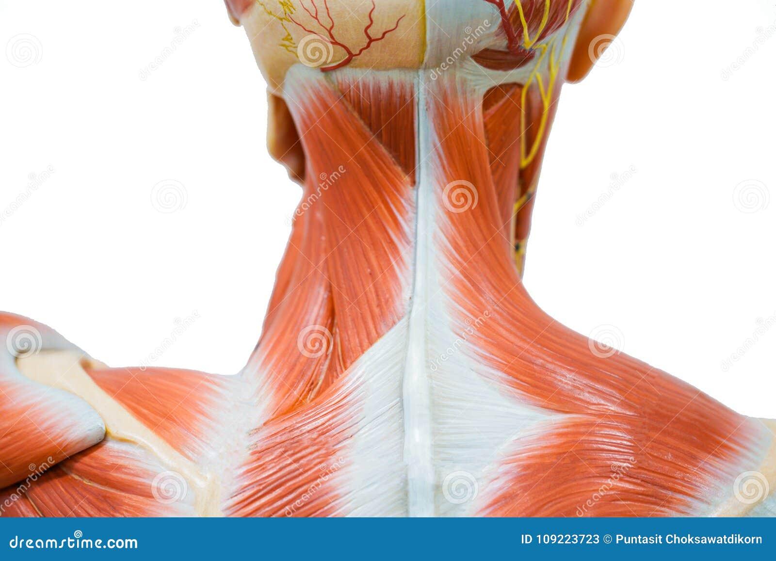 Anatomía Humana Del Músculo Del Cuello Imagen de archivo - Imagen de ...