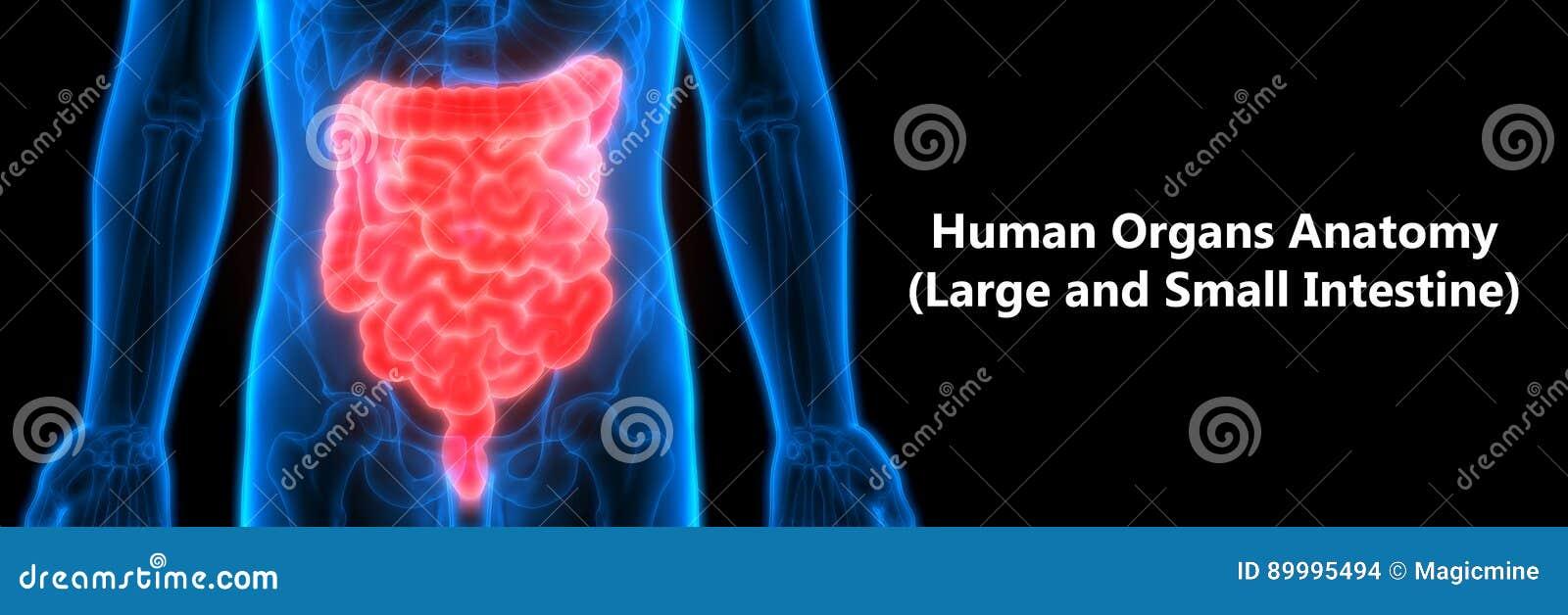 Anatomía Humana Del Sistema Digestivo Grande Y Intestino Delgado ...