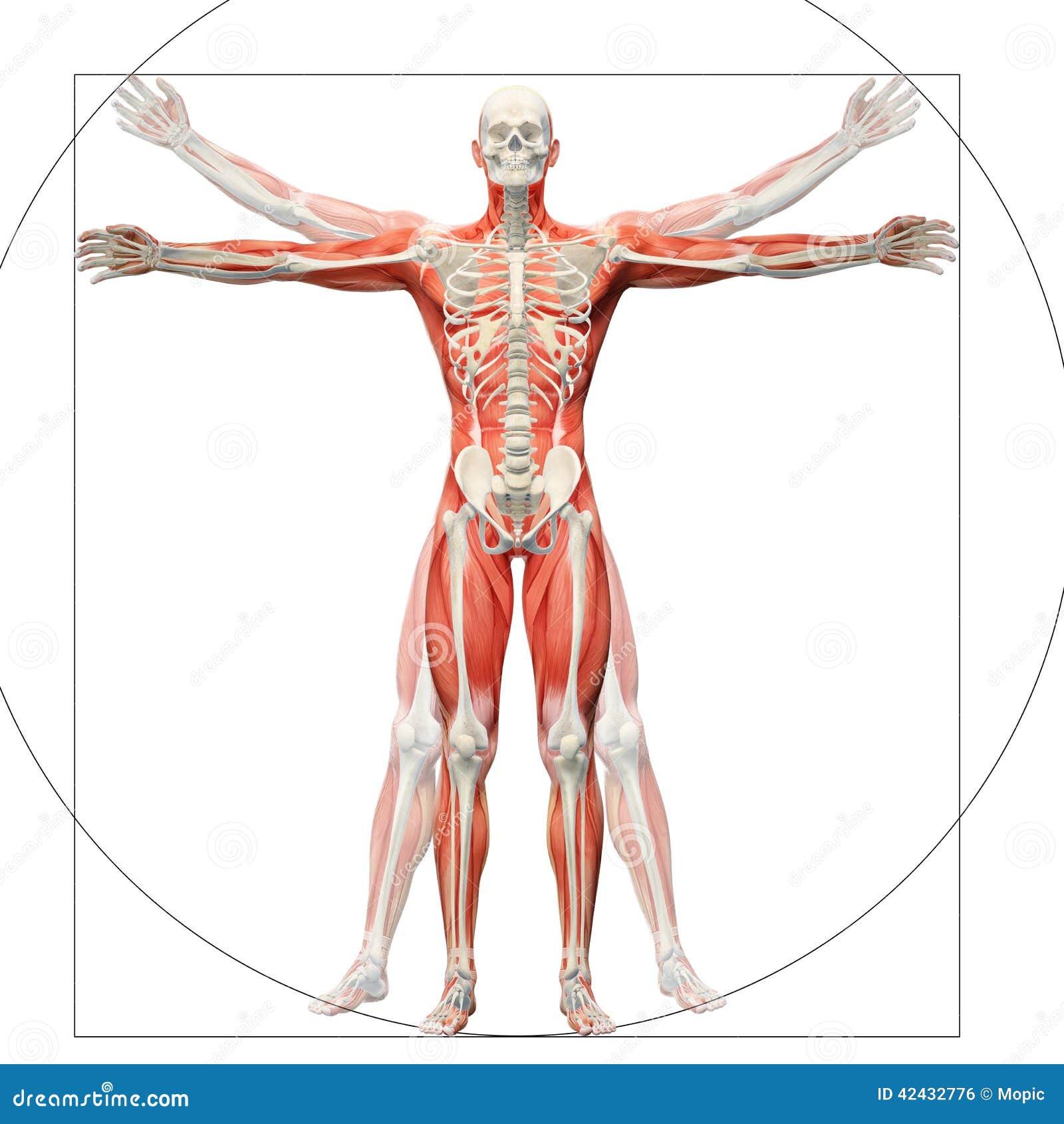 Anatomía humana exhibida como el hombre vitruvian