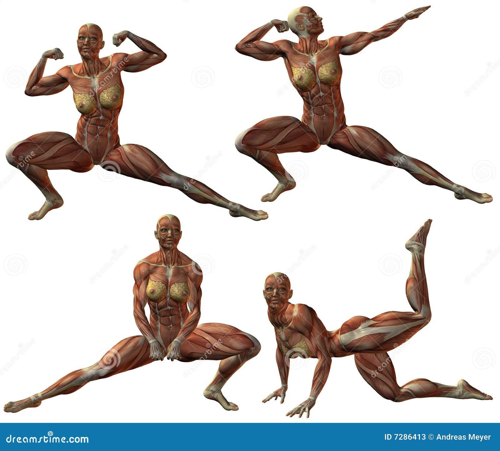 Anatomía humana femenina del Bodybuilder