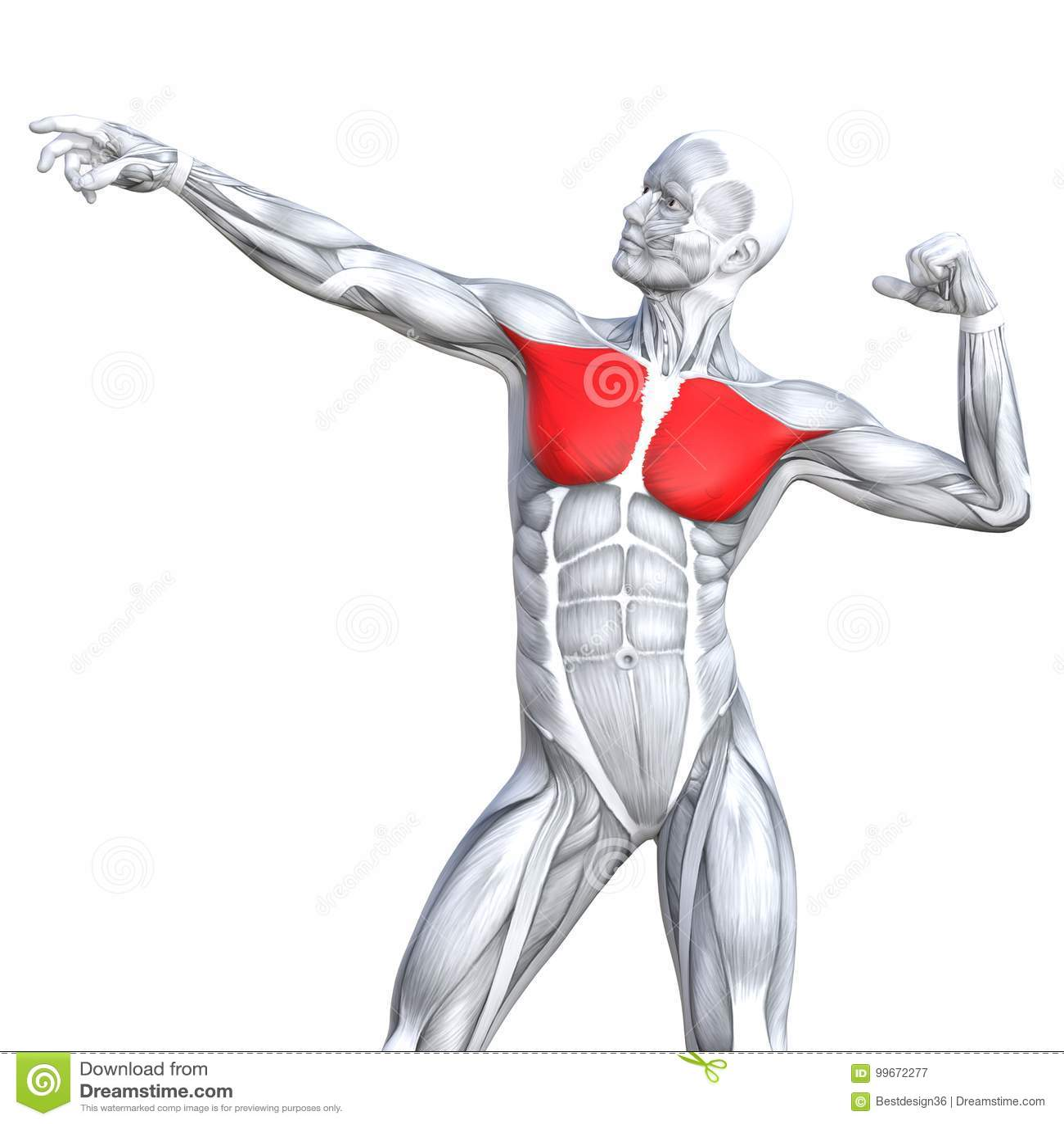 Anatomía Humana Fuerte Apta De La Parte Posterior Del Ejemplo 3D ...